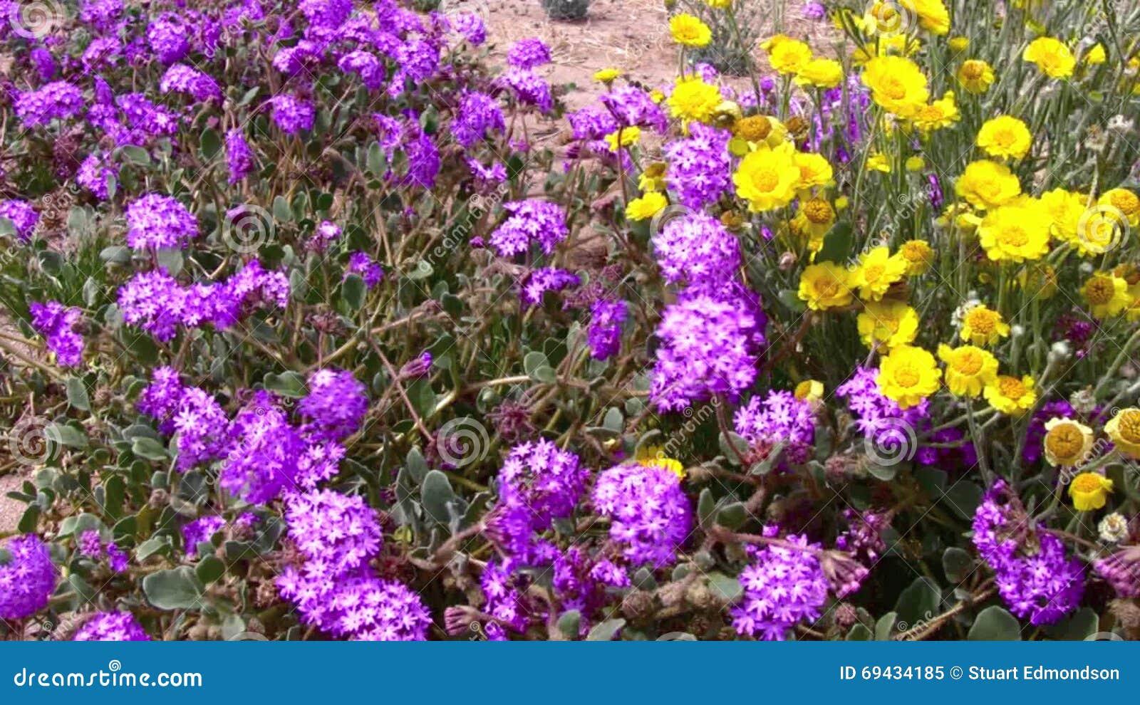 desert flowers wind 4 joshua tree national park california stock