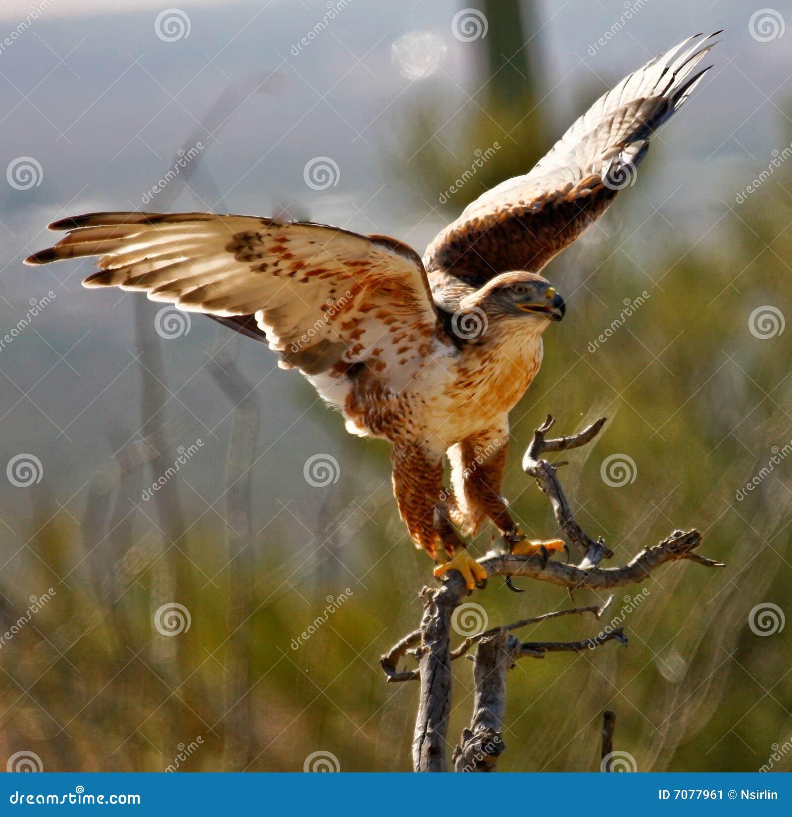 Desert Hawk Animal Desert Hawk Stock Image