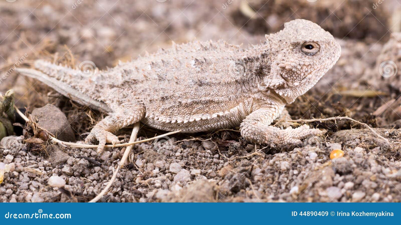 File:Desert Horned Lizard (Phrynosoma platyrhinos); Pinto Wells ...