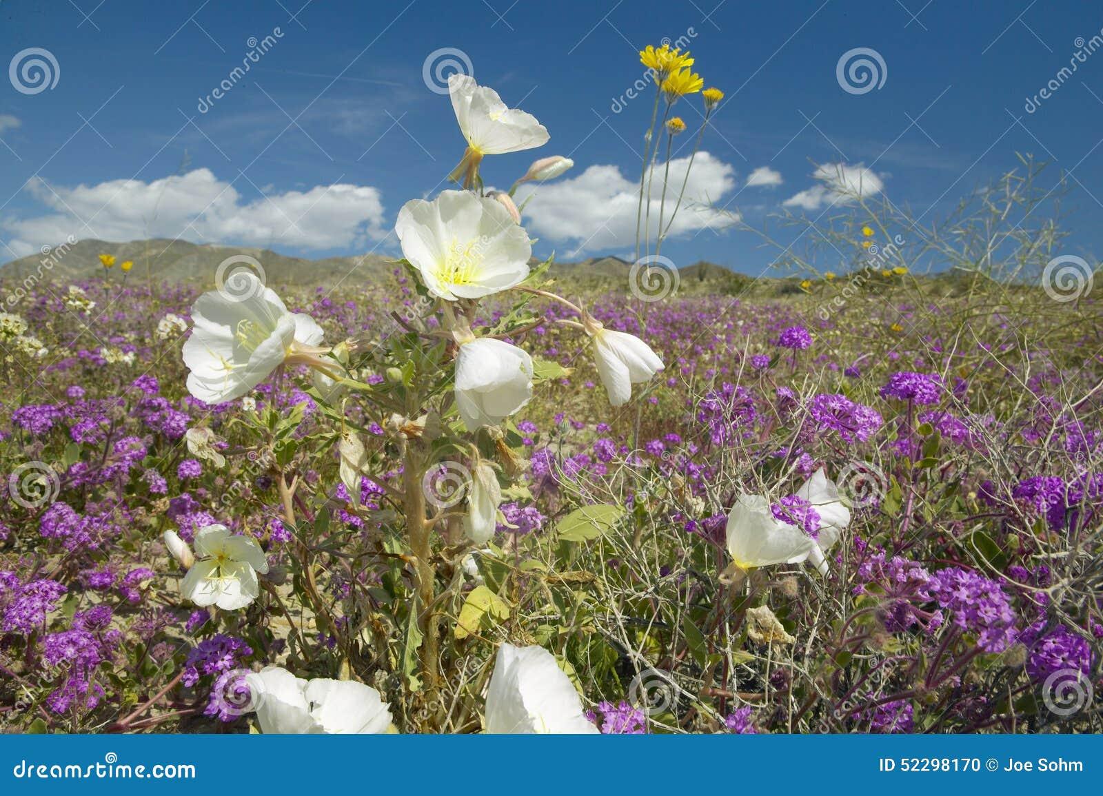 Desert lilies and white flowers blossoming with white puffy clouds download desert lilies and white flowers blossoming with white puffy clouds in anza borrego desert mightylinksfo