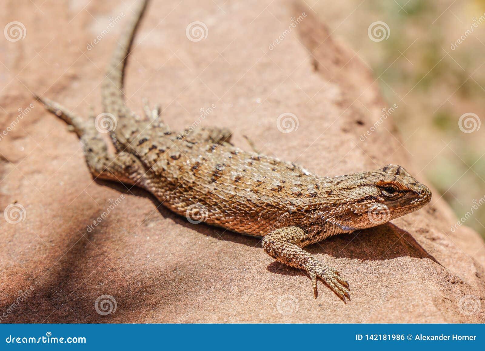 Desert lizard sitting in sun