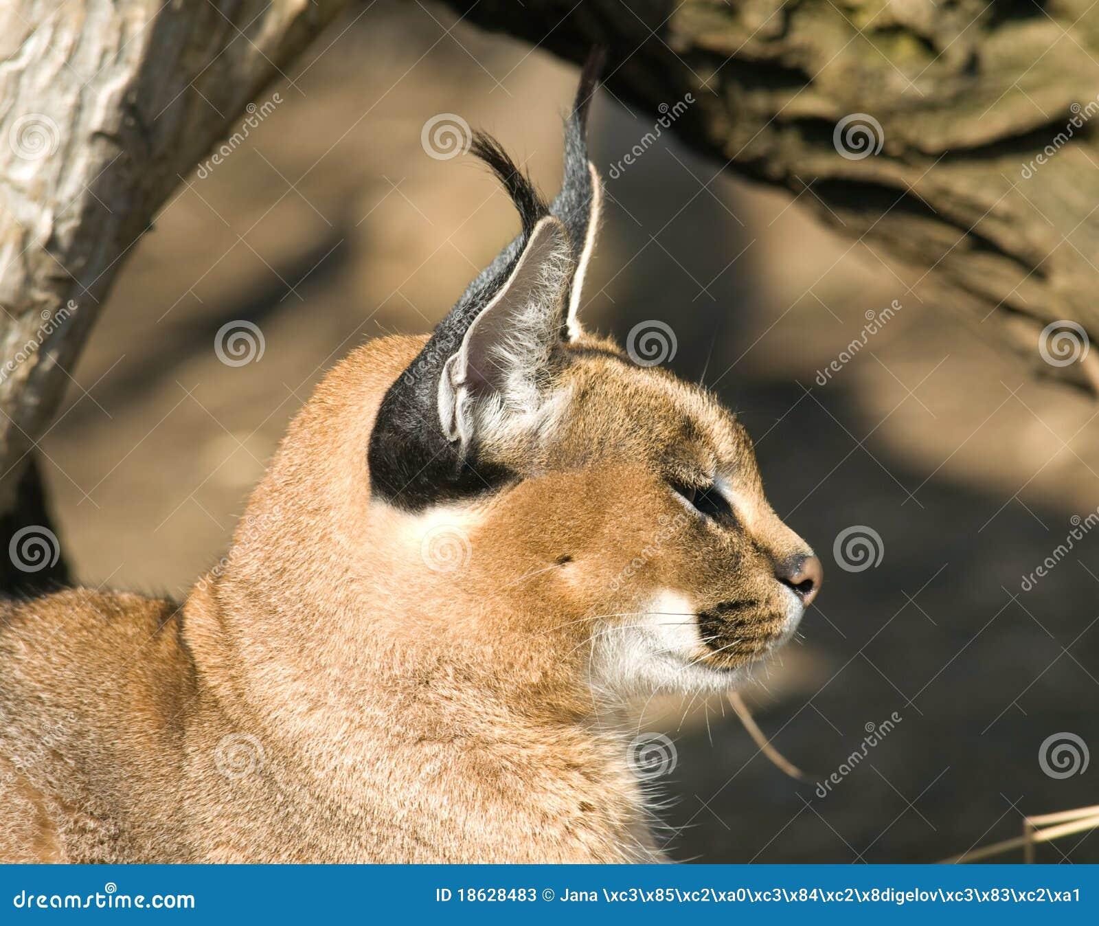 Desert Lynx Caracal Caracal Stock Image Image Of Wildlife Lynx