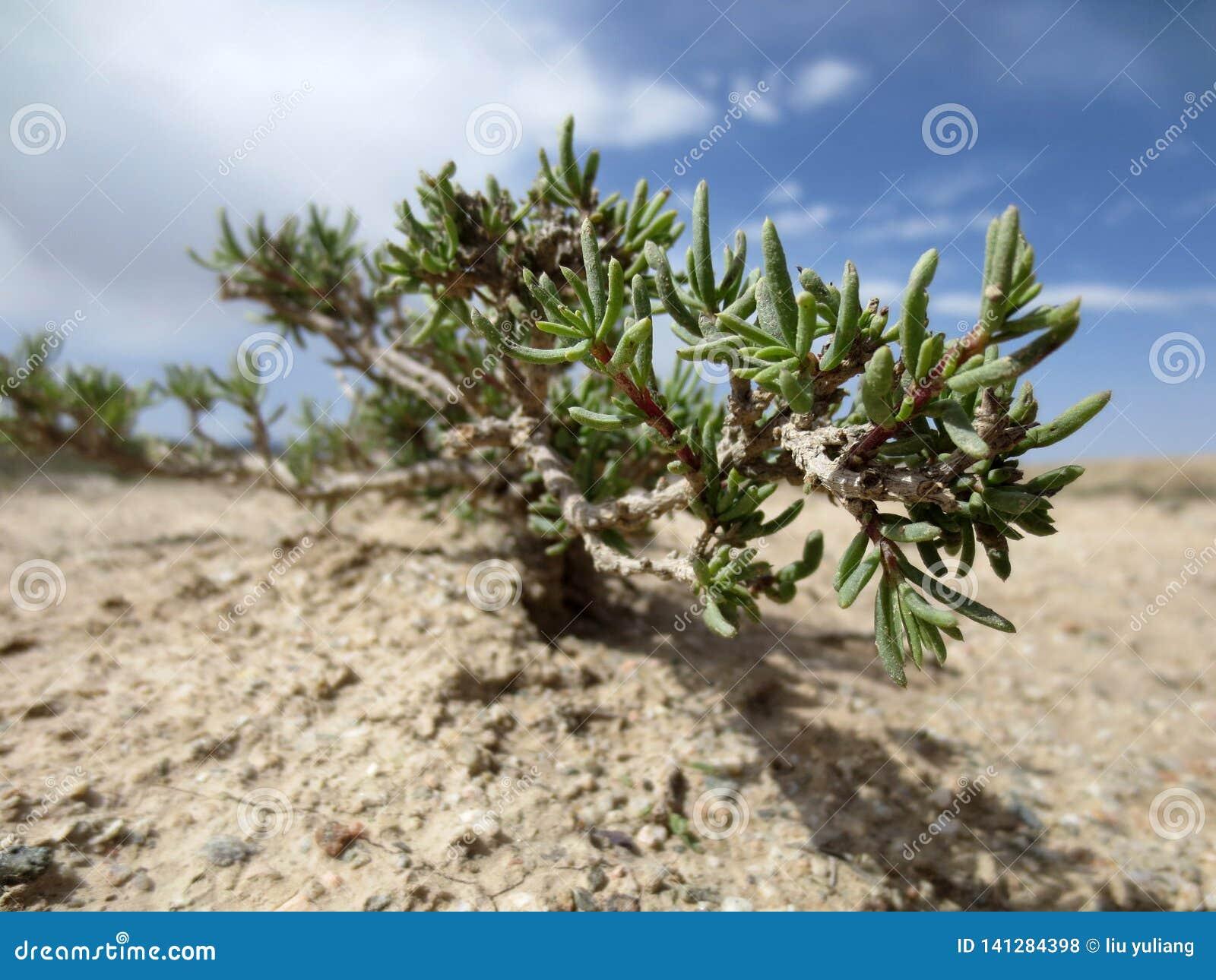 Desert plant, Gobi Desert