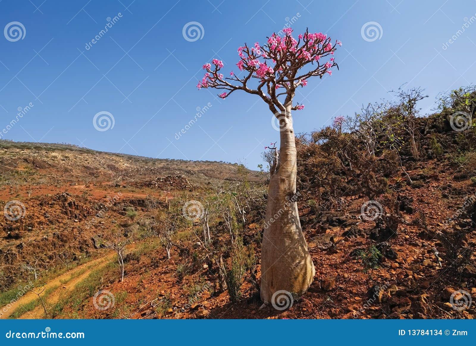 Desert Rose - Adenium Obesum Stock Images - Image: 13784134