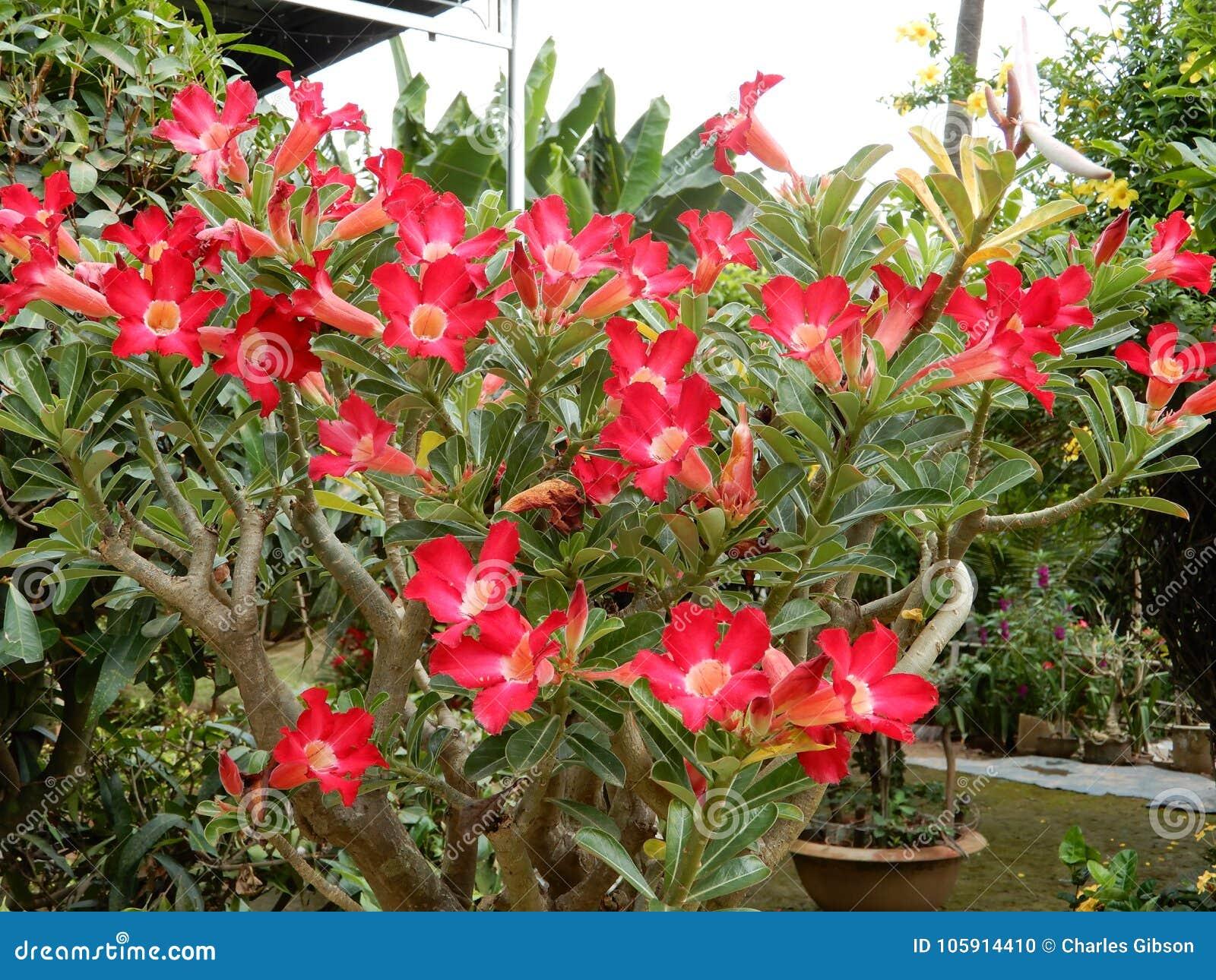 523ca3516a04 Desert Rose Adenium obesum stock photo. Image of blooms - 105914410