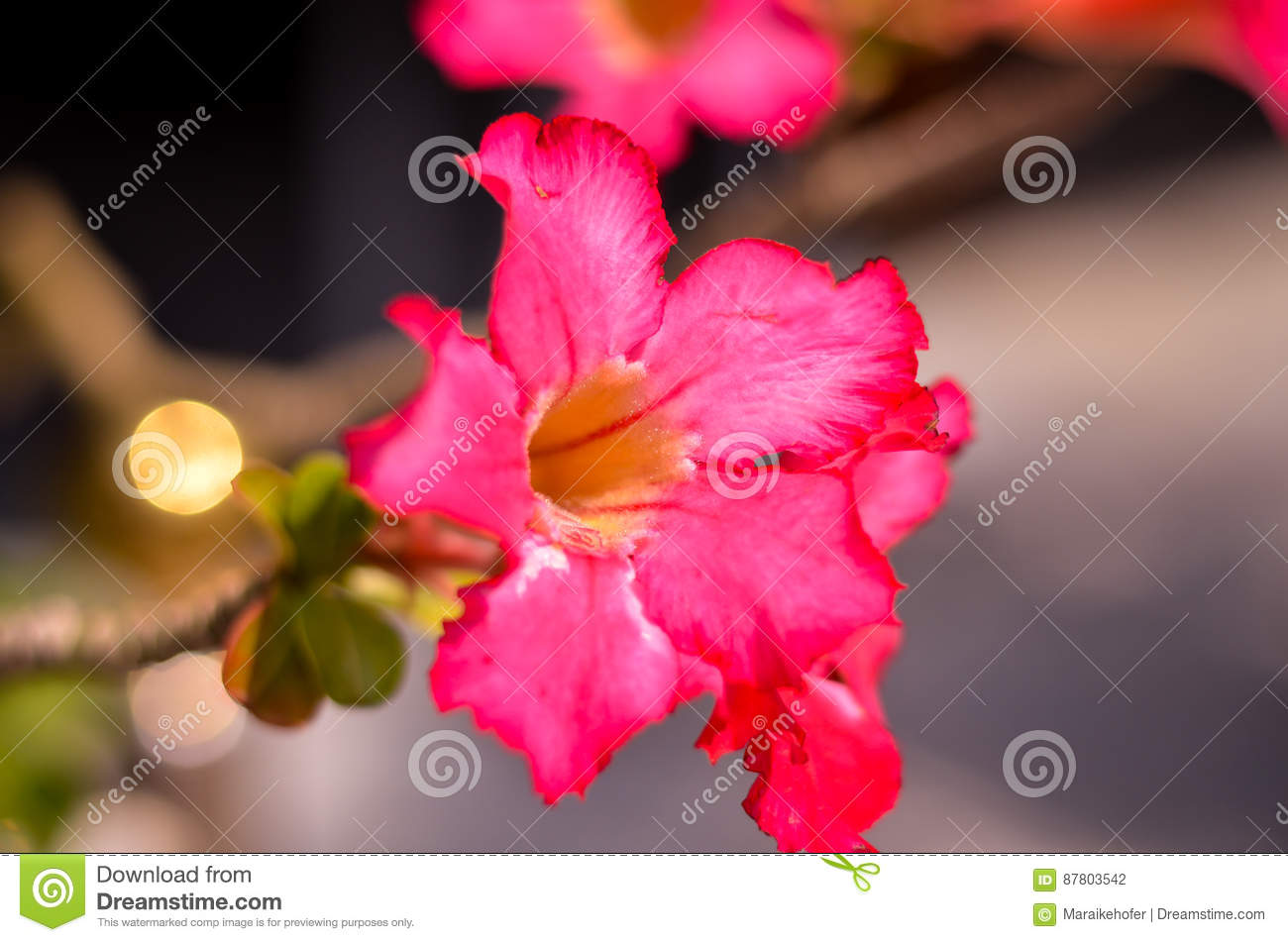 Desert Rose Beautiful Flowers In The Garden Pink Color On The Bush