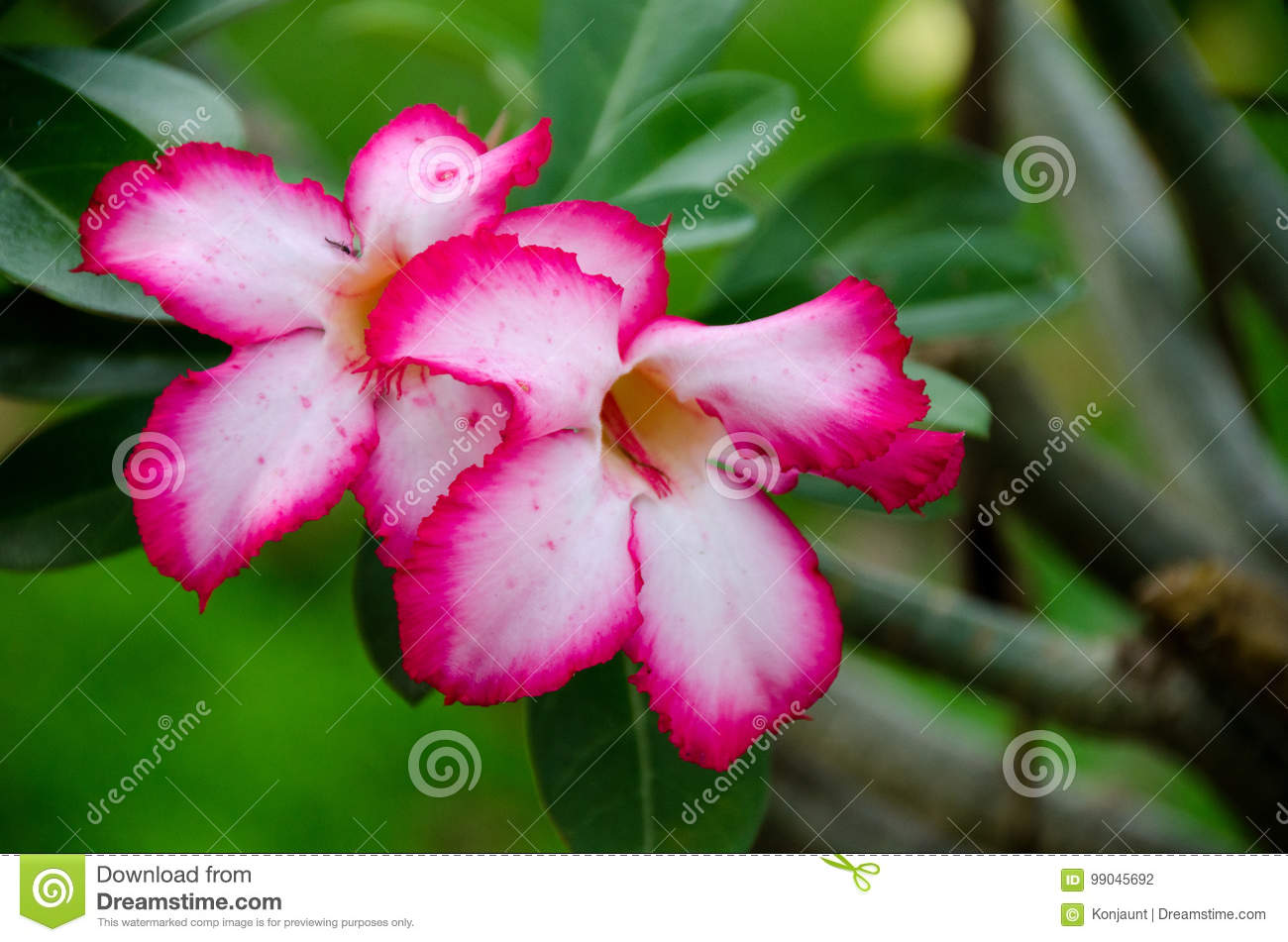 Desert Rose Beautiful Flowers In The Garden Pink Color On The T