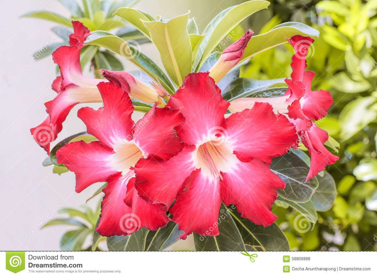Desert Rose stock photo. Image of beautiful, bignonia - 58806888