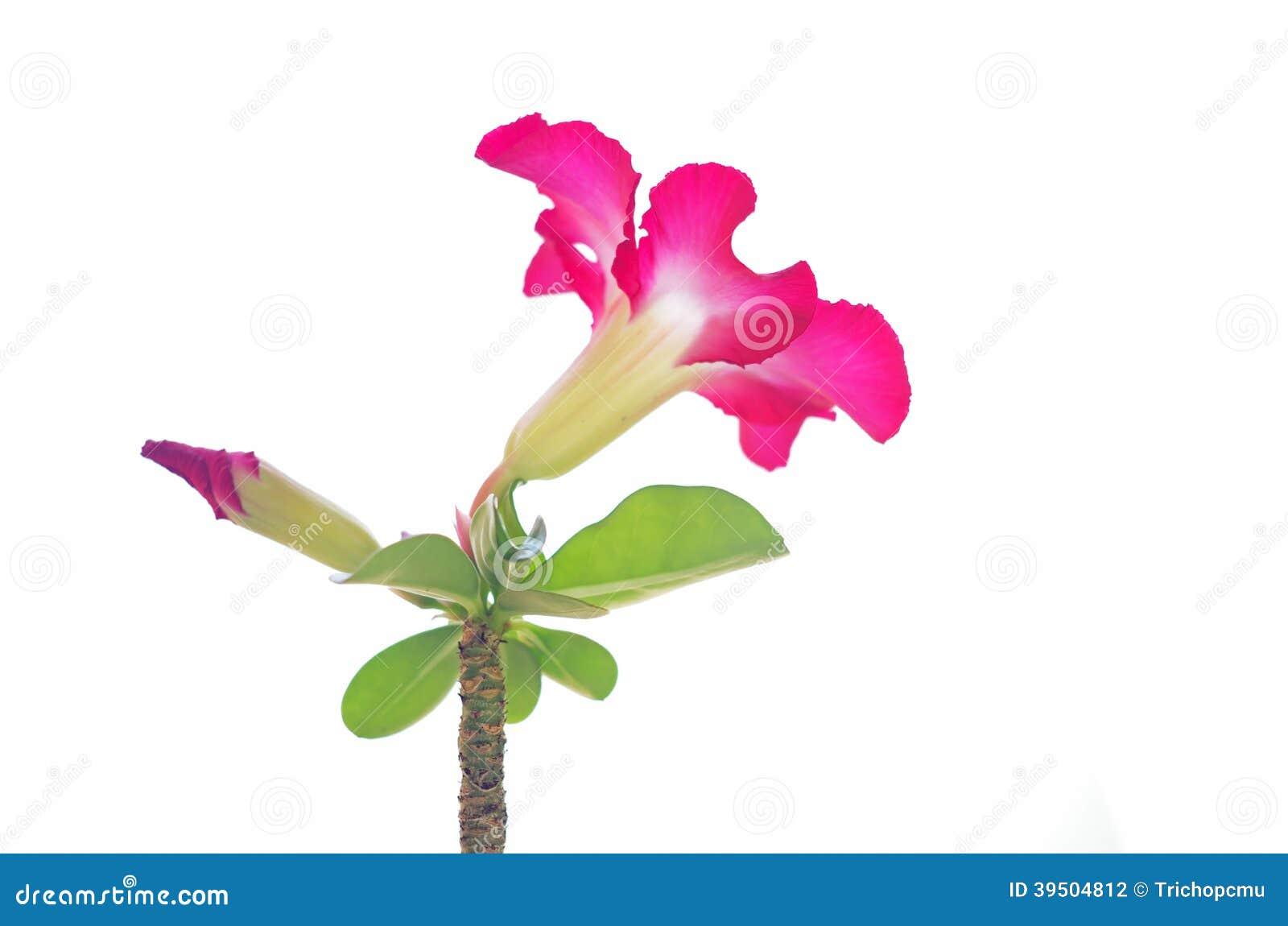 Desert rose isolation