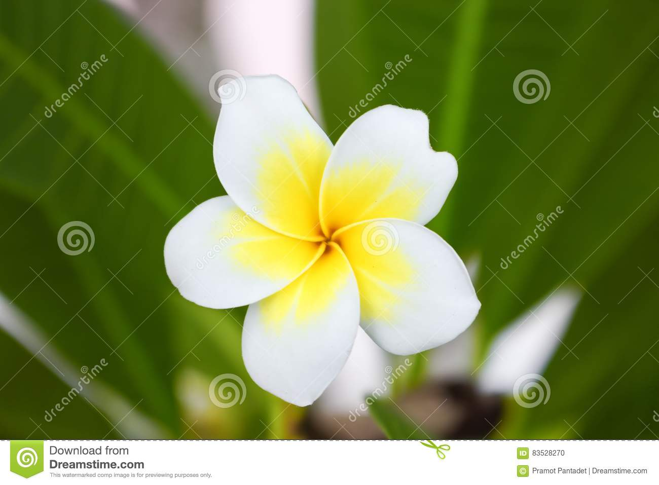 Desert Rose Tropical Flower On A Tree Or Impala Lily Flower Stock