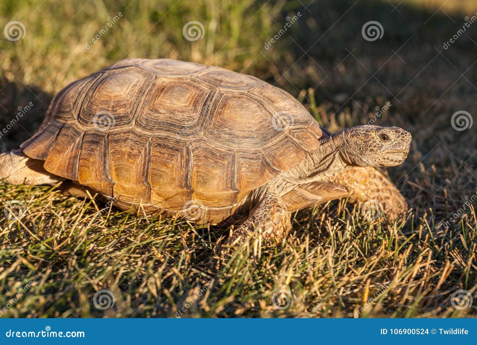 Desert Tortoise in Arizona