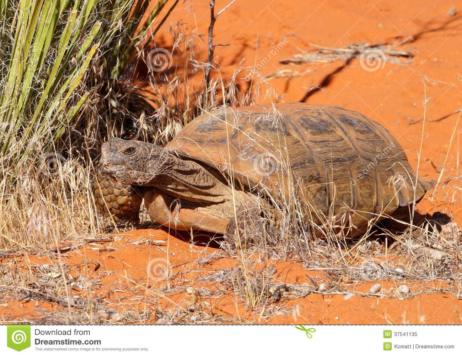 Desert Tortoise, Gopherus agassizi