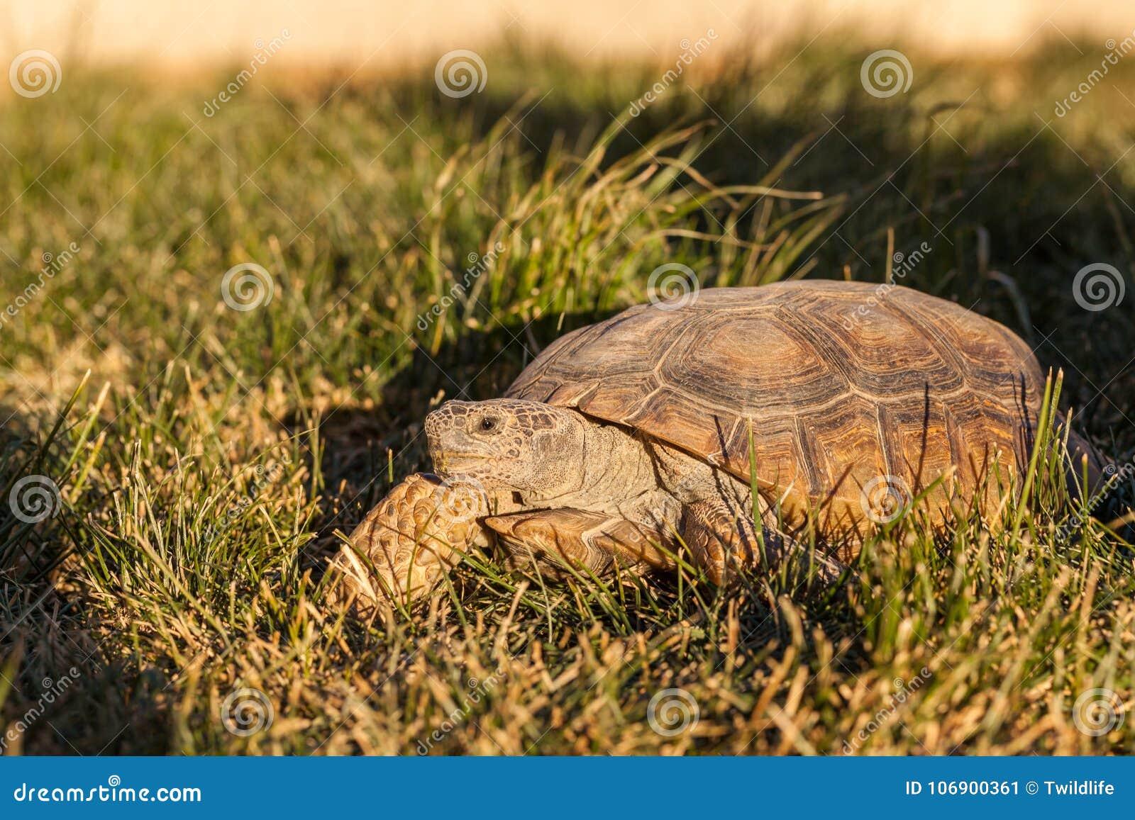 Desert Tortoise in Grass in Arizona