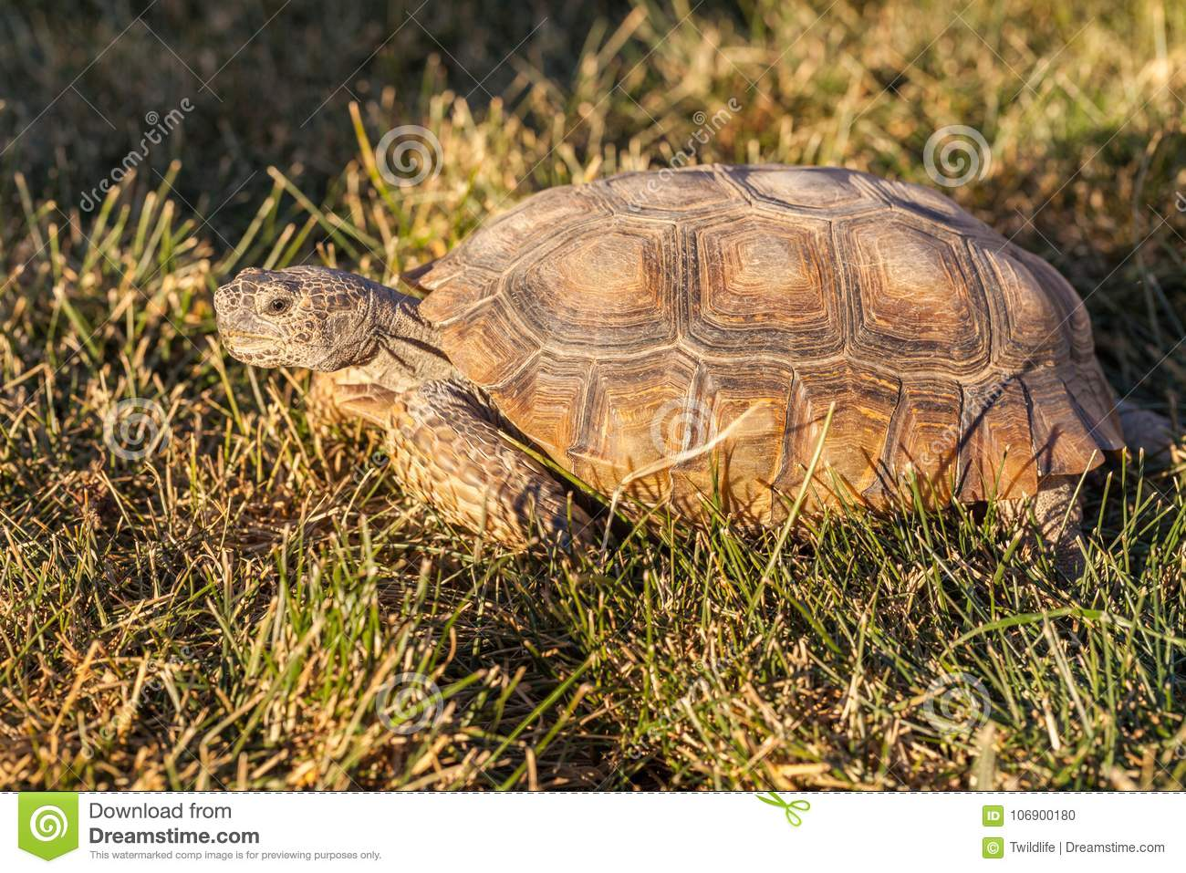 Desert Tortoise in Grass