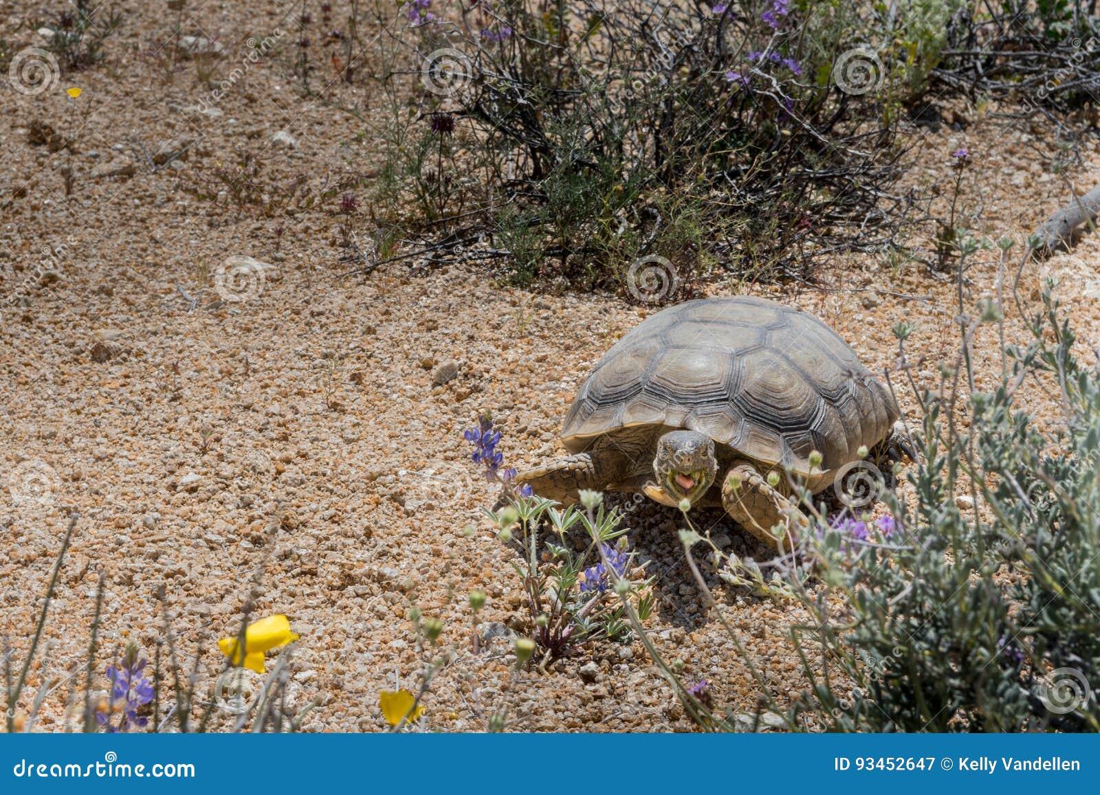 Desert Tortoise Grazes on Spring Flowers