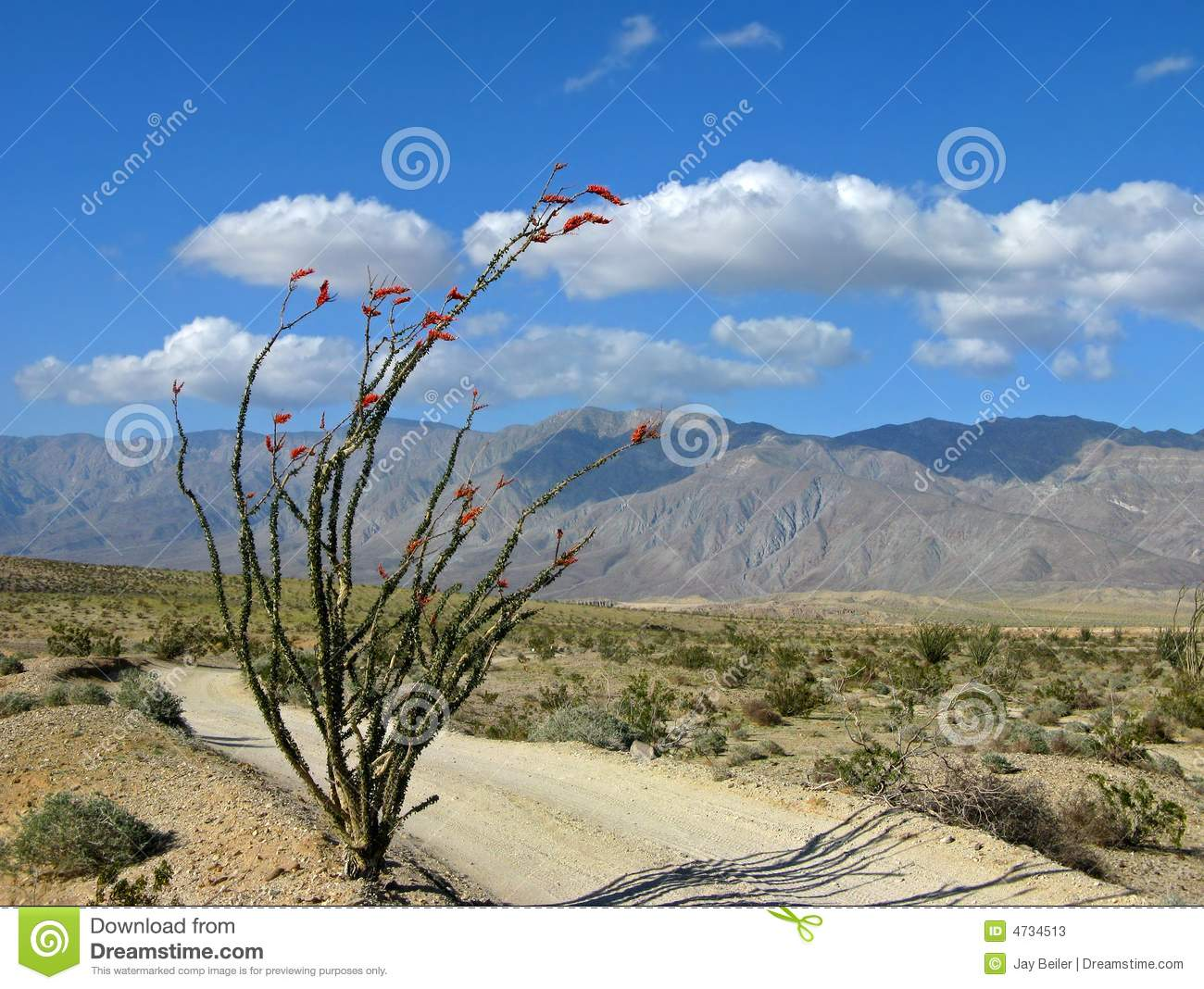 Desert trail with ocotillo