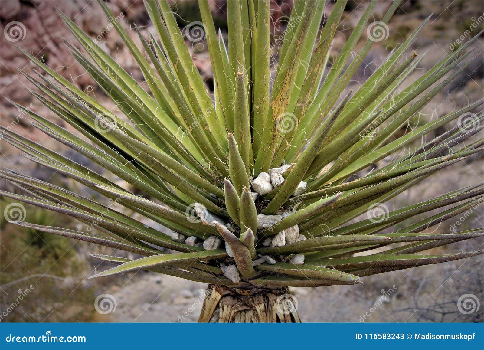 Desert Yucca Plant