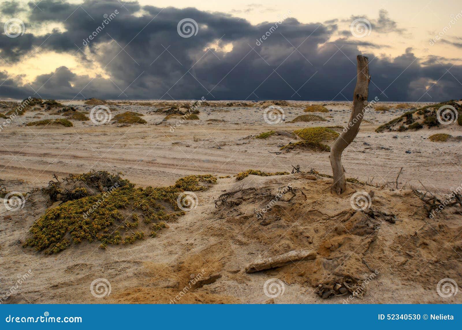 Desertera namib