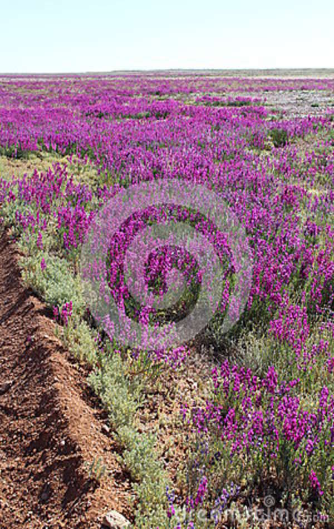 Deserto de florescência do ` s de Austrália em agosto