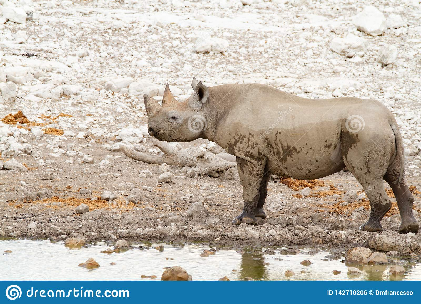 Desertos e natureza africanos do rinoceronte do mamífero em parques nacionais