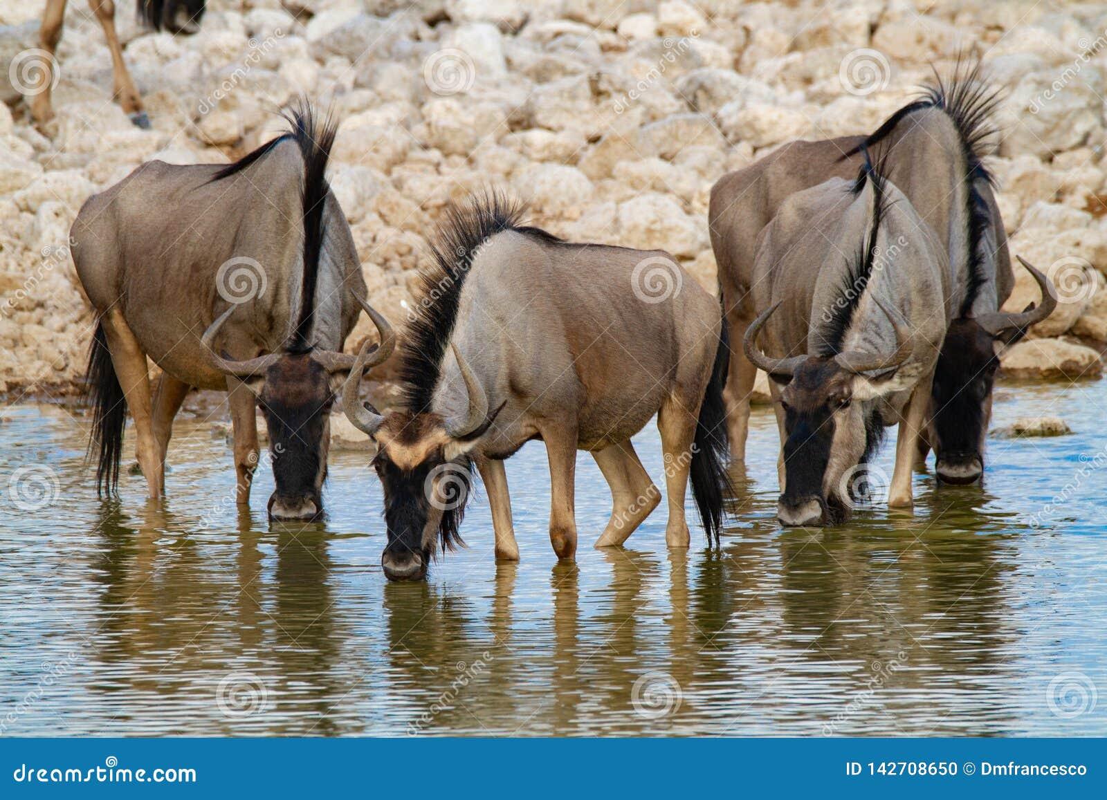 Desertos e natureza azuis de Namíbia do gnu em parques nacionais