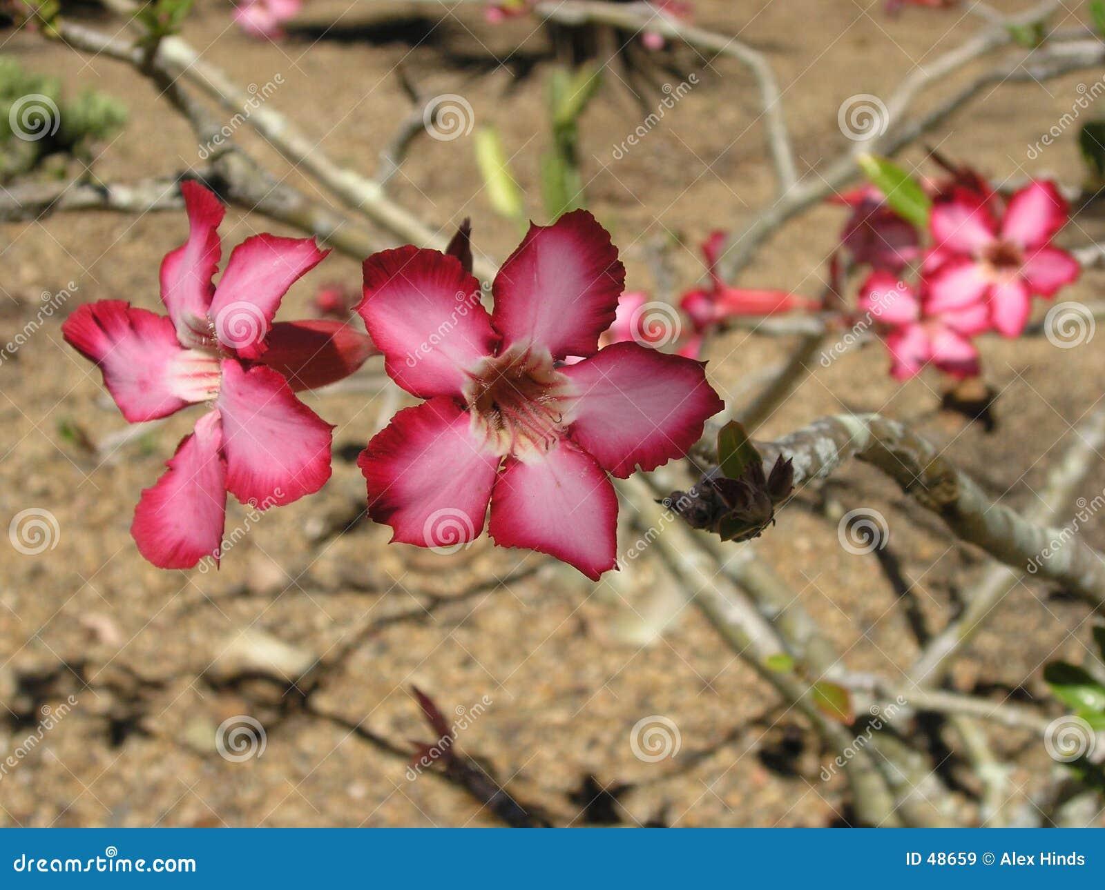 Desierto Rose