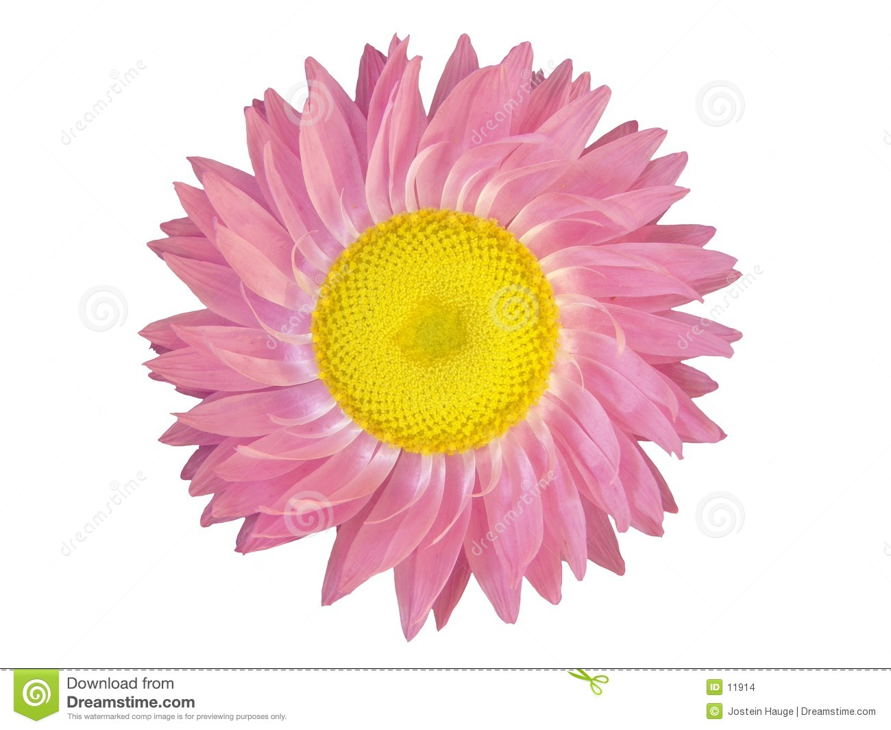 Design Elements: Pink Flower Head