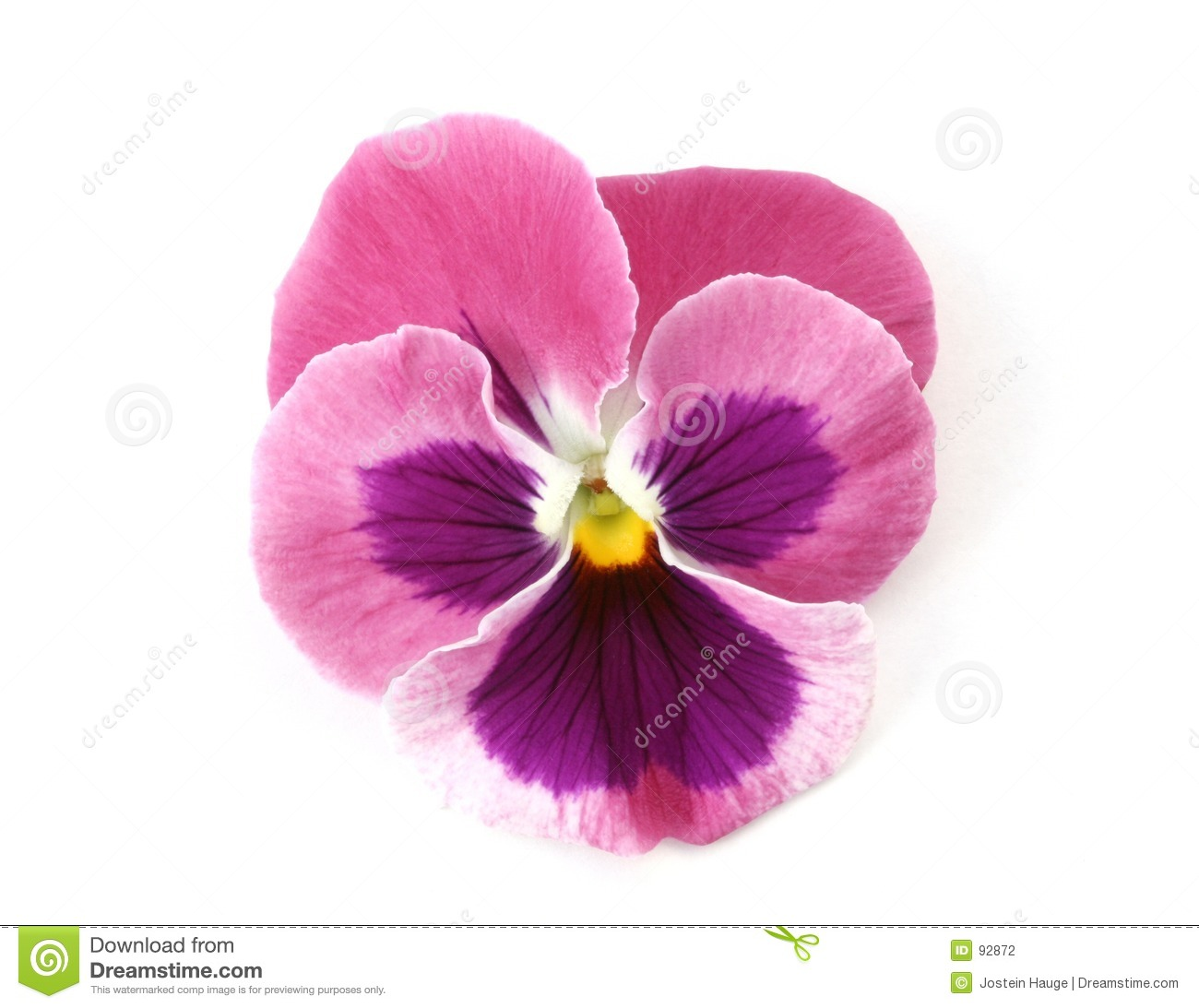 Design Elements: Pink Pansy Stock Photography - Image: 92872