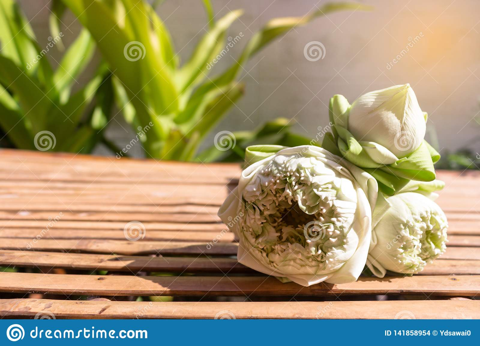 Design for three lotus flowers green buds on bamboo wood table and copy space on plant background