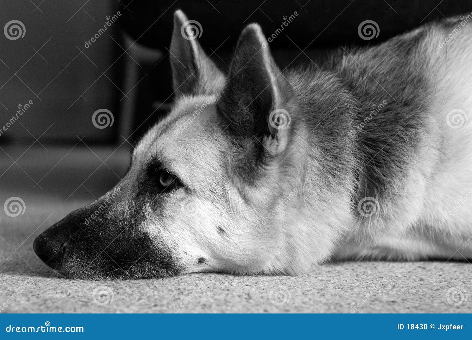 Deslumbramiento del perro