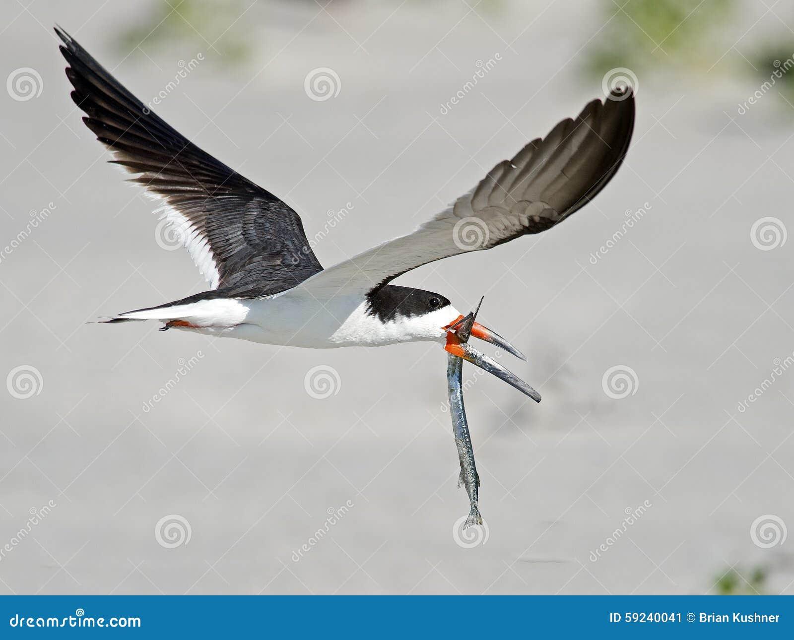 Desnatadora negra en vuelo con los pescados