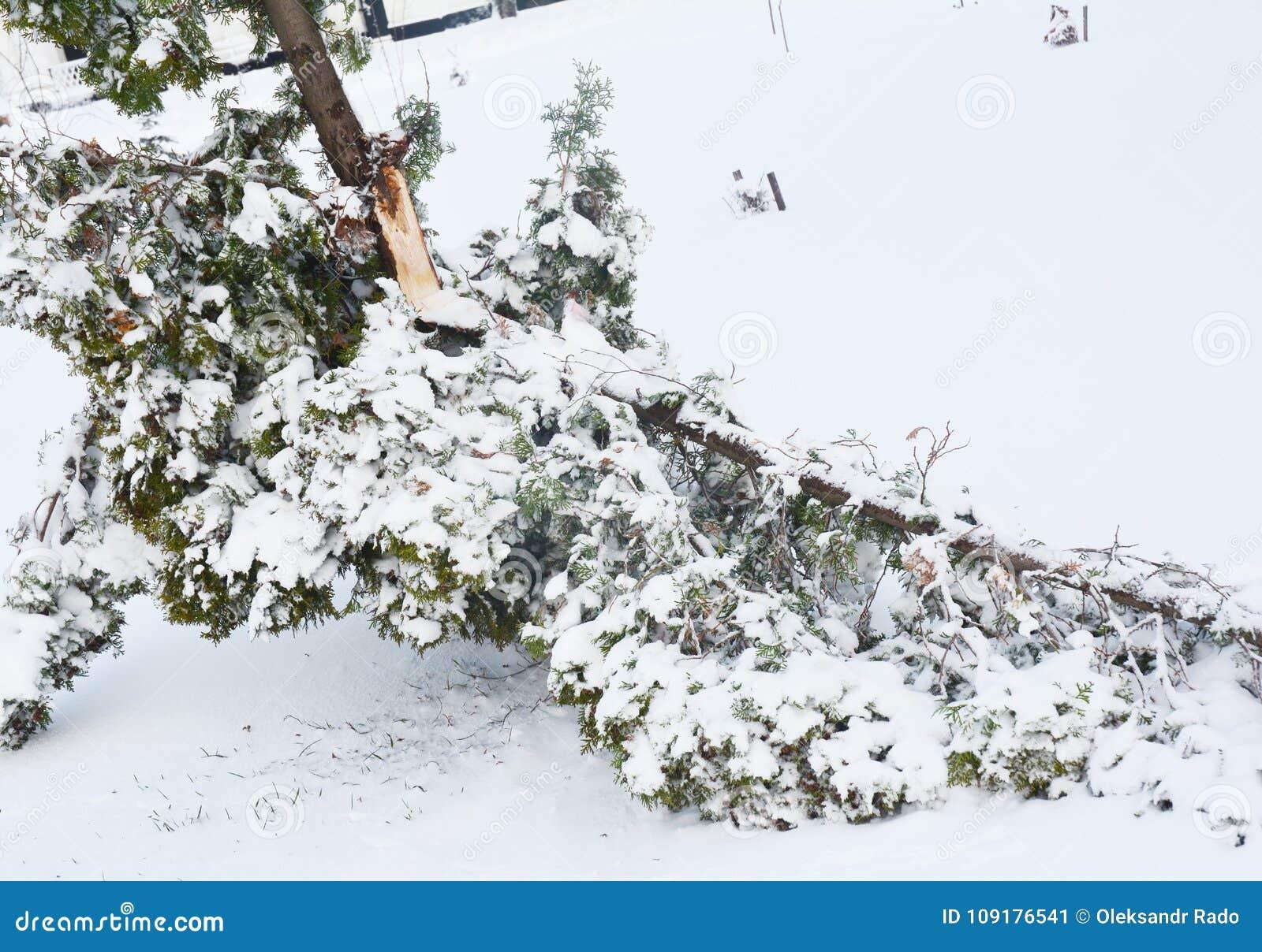 Después de la tormenta de la nieve: El hacer frente a los árboles de la nieve e Hielo-dañado