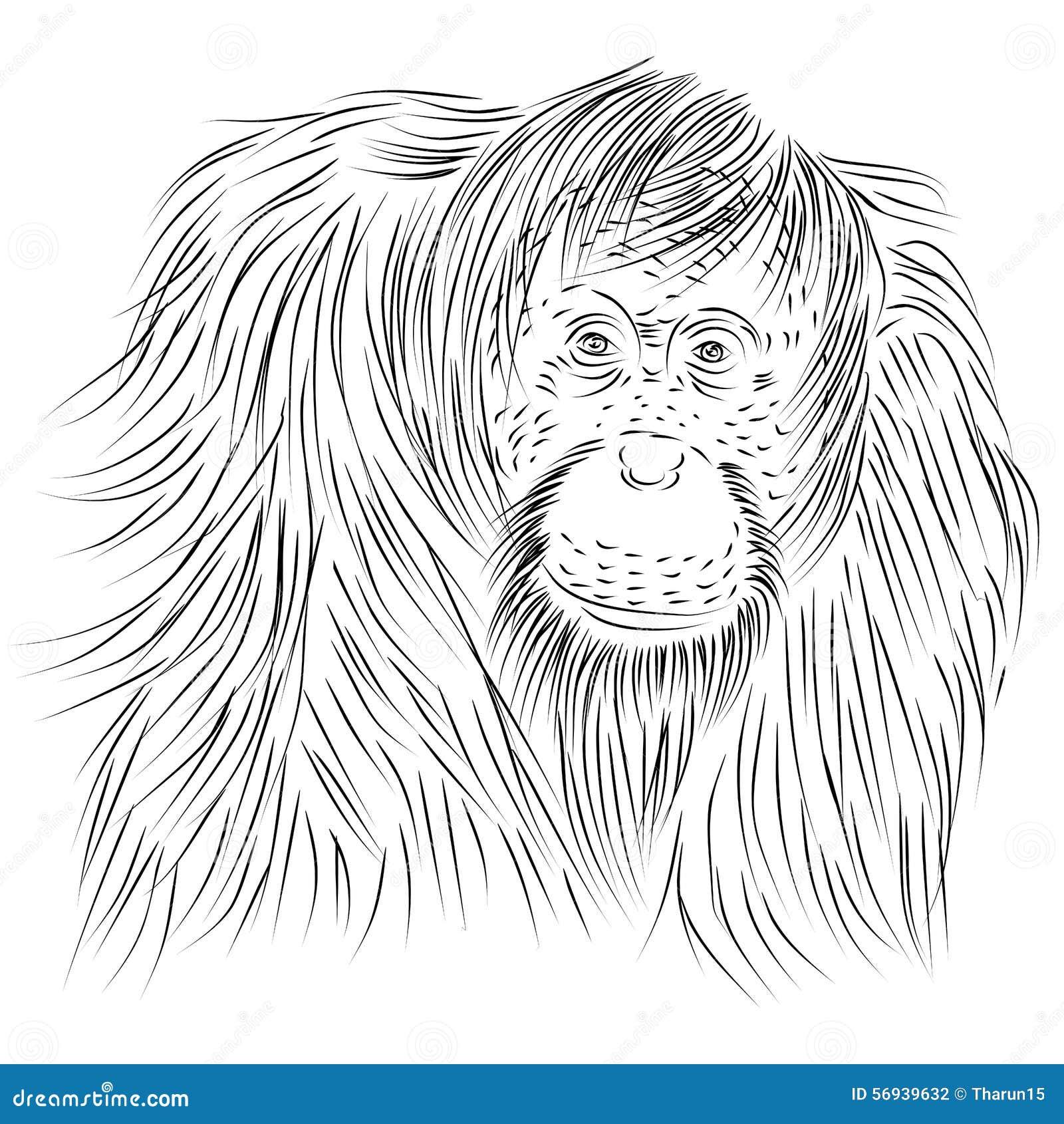Line Drawings Of Endangered Animals : Dessin au trait d abelii de pongo orang outan sumatran
