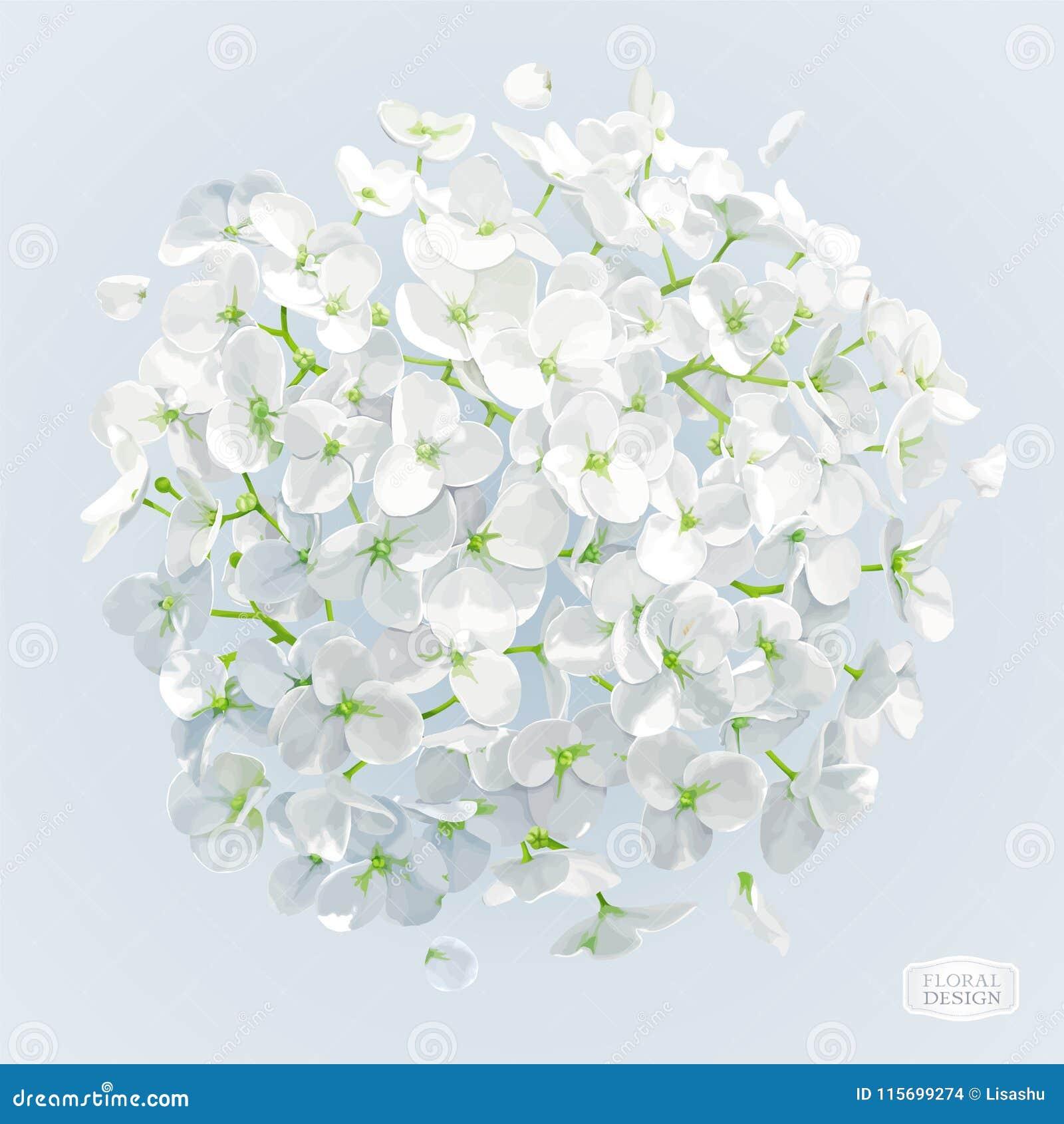 Dessin Blanc De Vecteur De Fleur D Hortensia Illustration De Vecteur