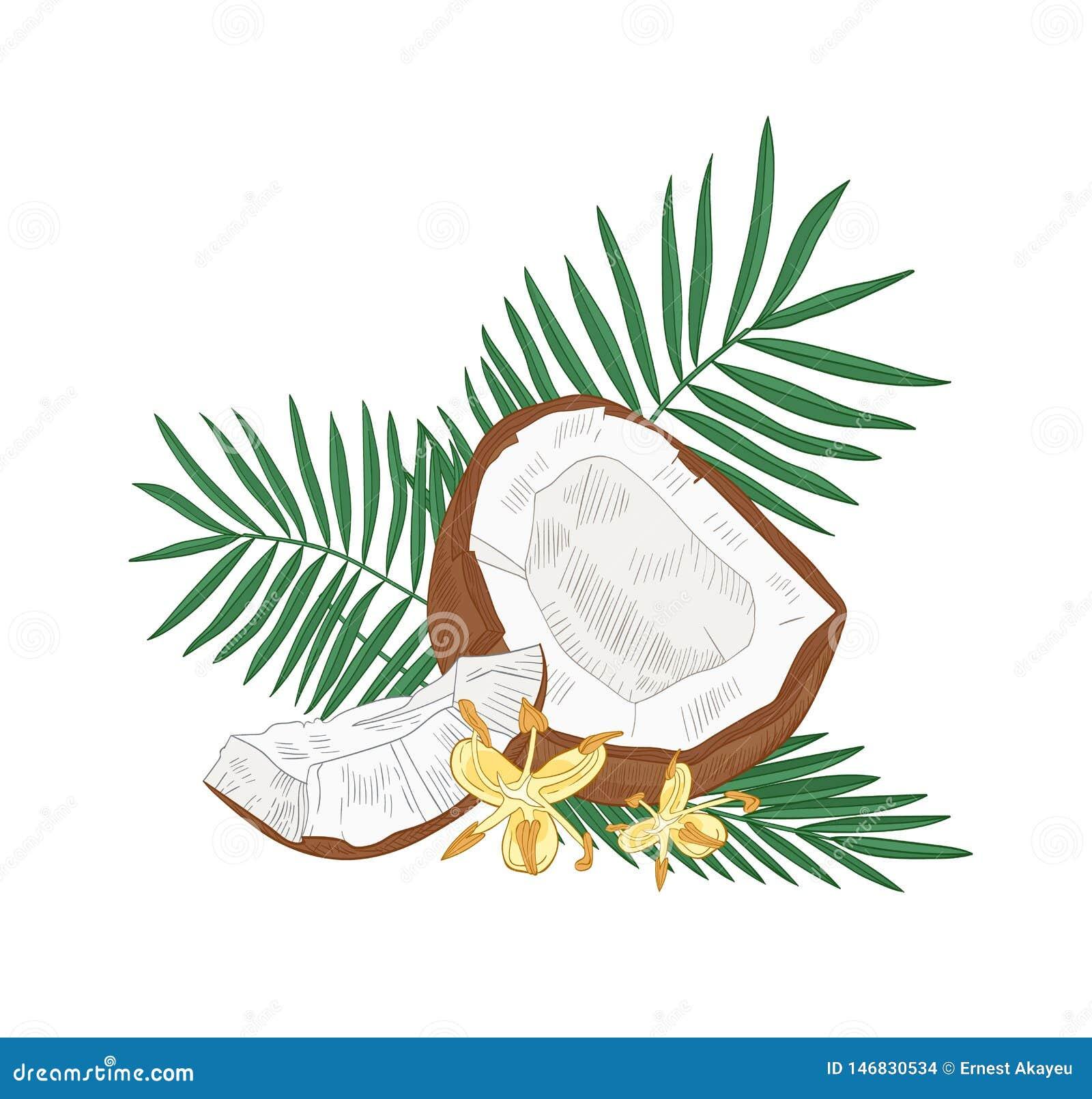 Dessin Botanique Détaillé De La Noix De Coco Des Feuilles