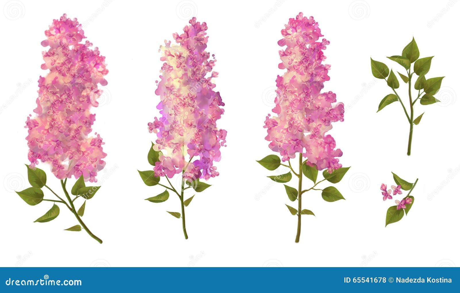 Dessin d 39 aquarelle de lilas illustration stock - Dessin de lilas ...