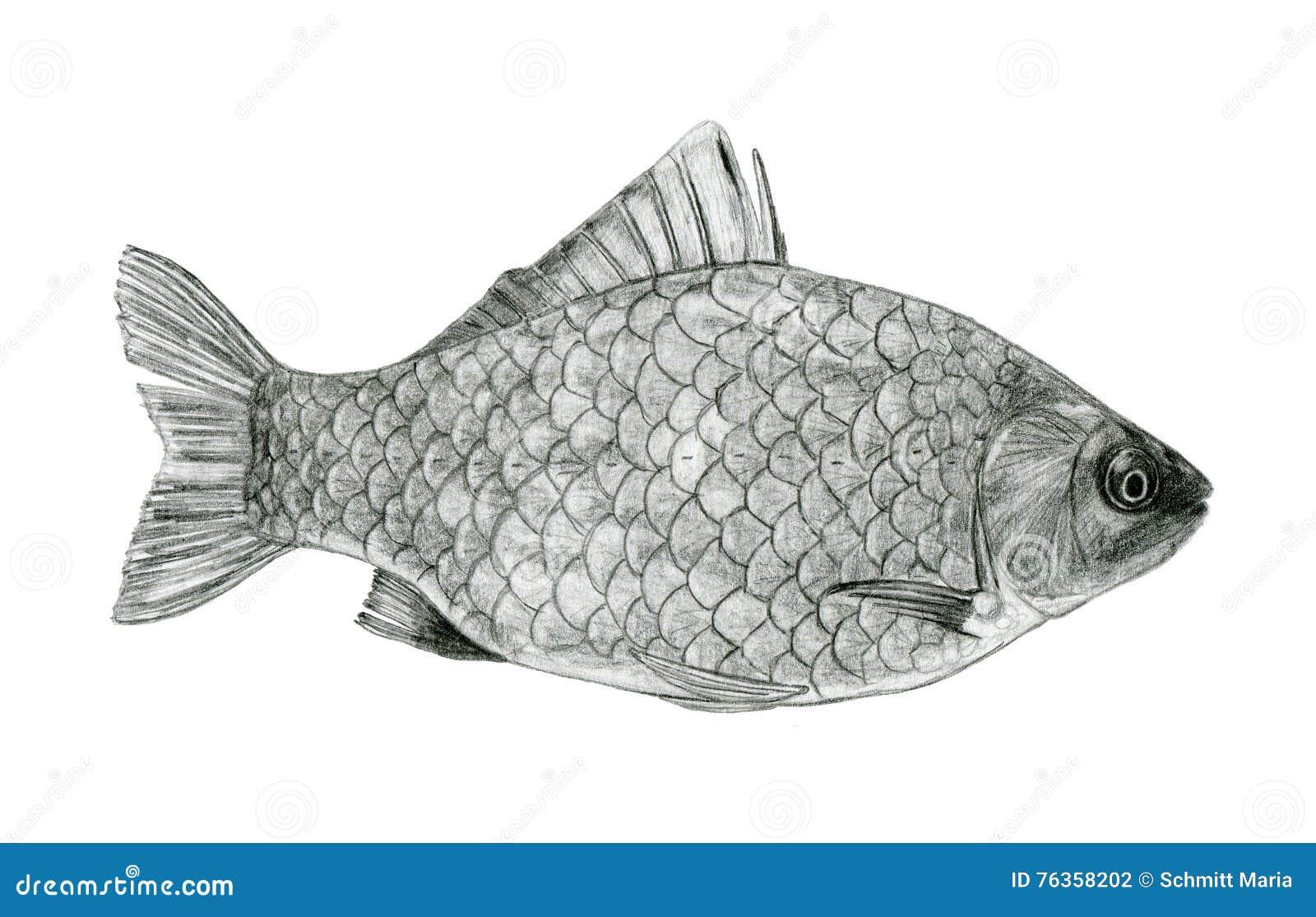 Dessin de croquis de bar de mer de poissons illustration - Croquis poisson ...