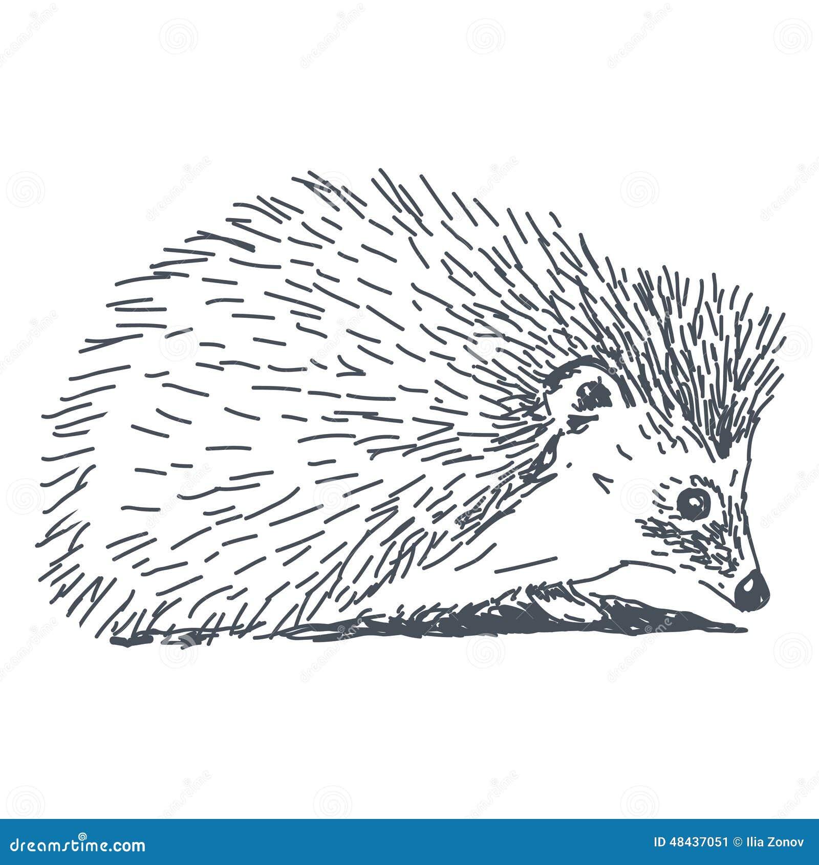 Dessin de h risson illustration stock image 48437051 - Herisson dessin ...
