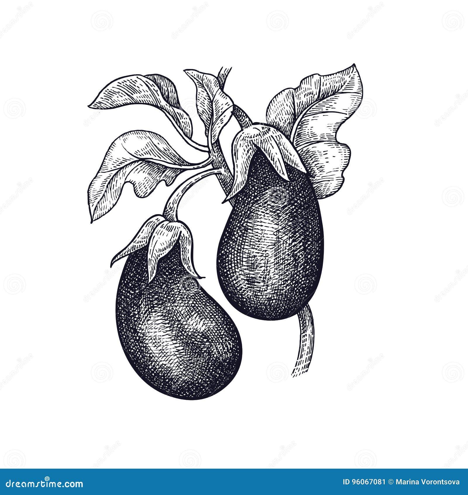 Aubergine Dessin dessin de main de l'aubergine végétale illustration de vecteur