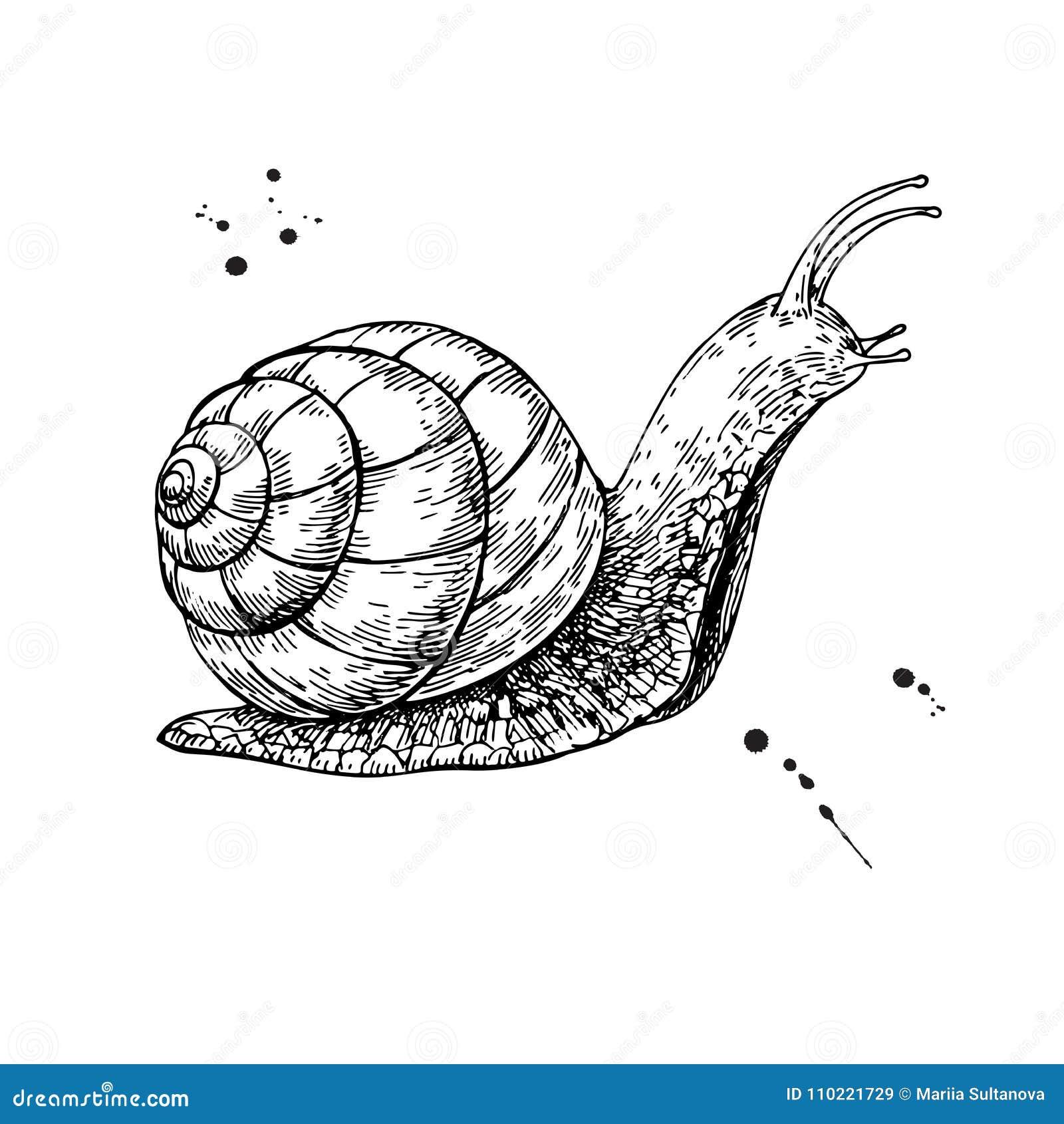 Dessin De Vecteur D'escargot Croquis D'isolement Tiré Par La Main Anima Gravé Illustration de ...