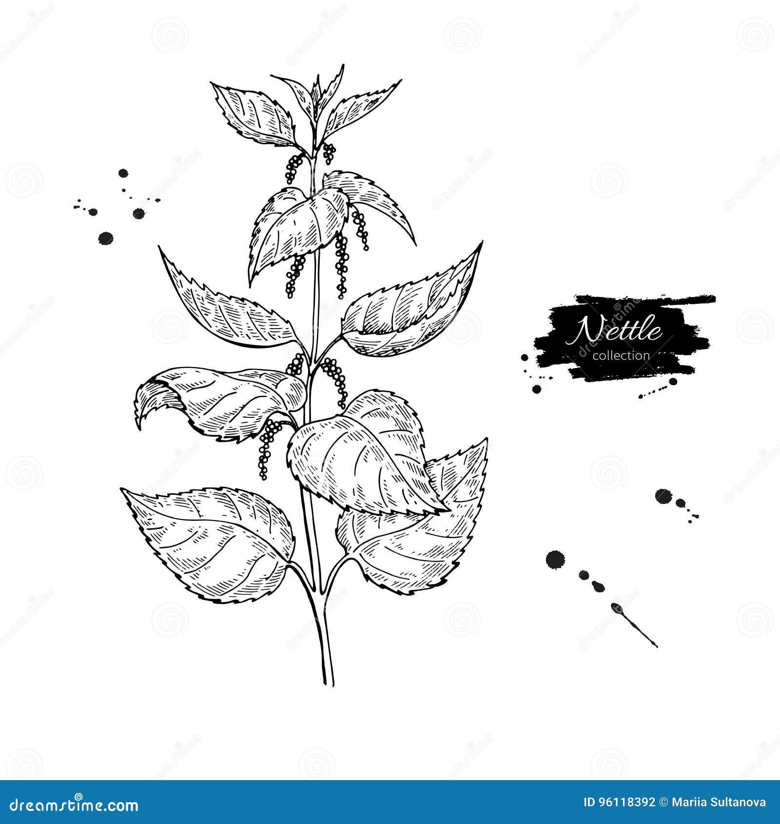 Dessin De Vecteur D Ortie Plante Médicinale D Isolement Avec