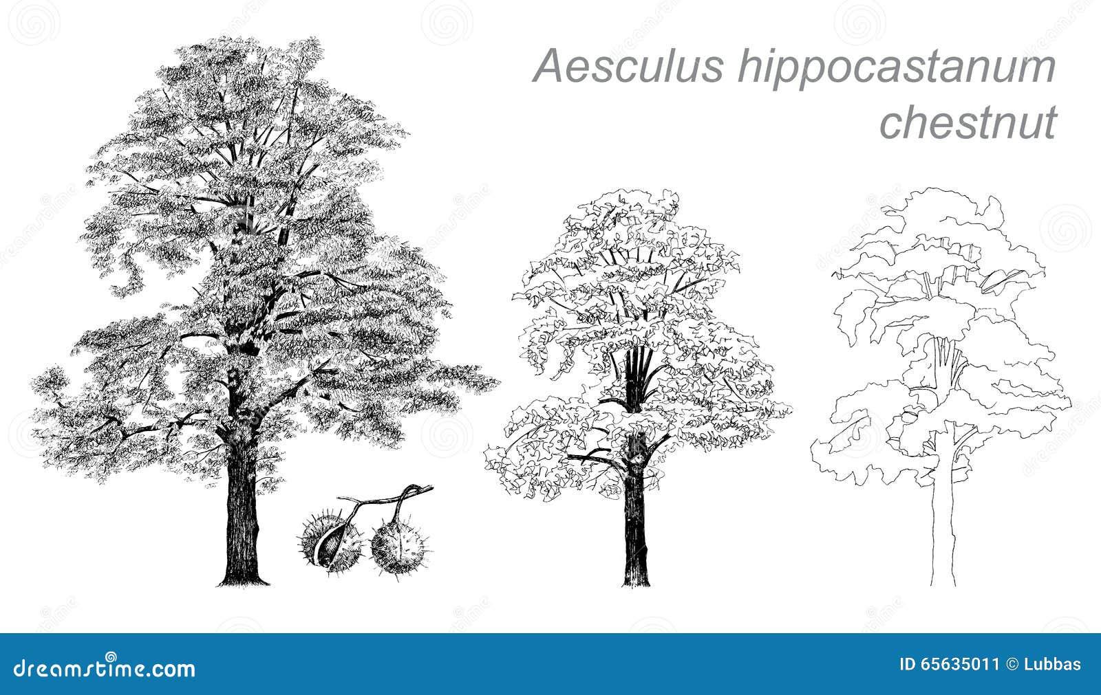 Dessin de vecteur de châtaigne (hippocastanum d Aesculus)