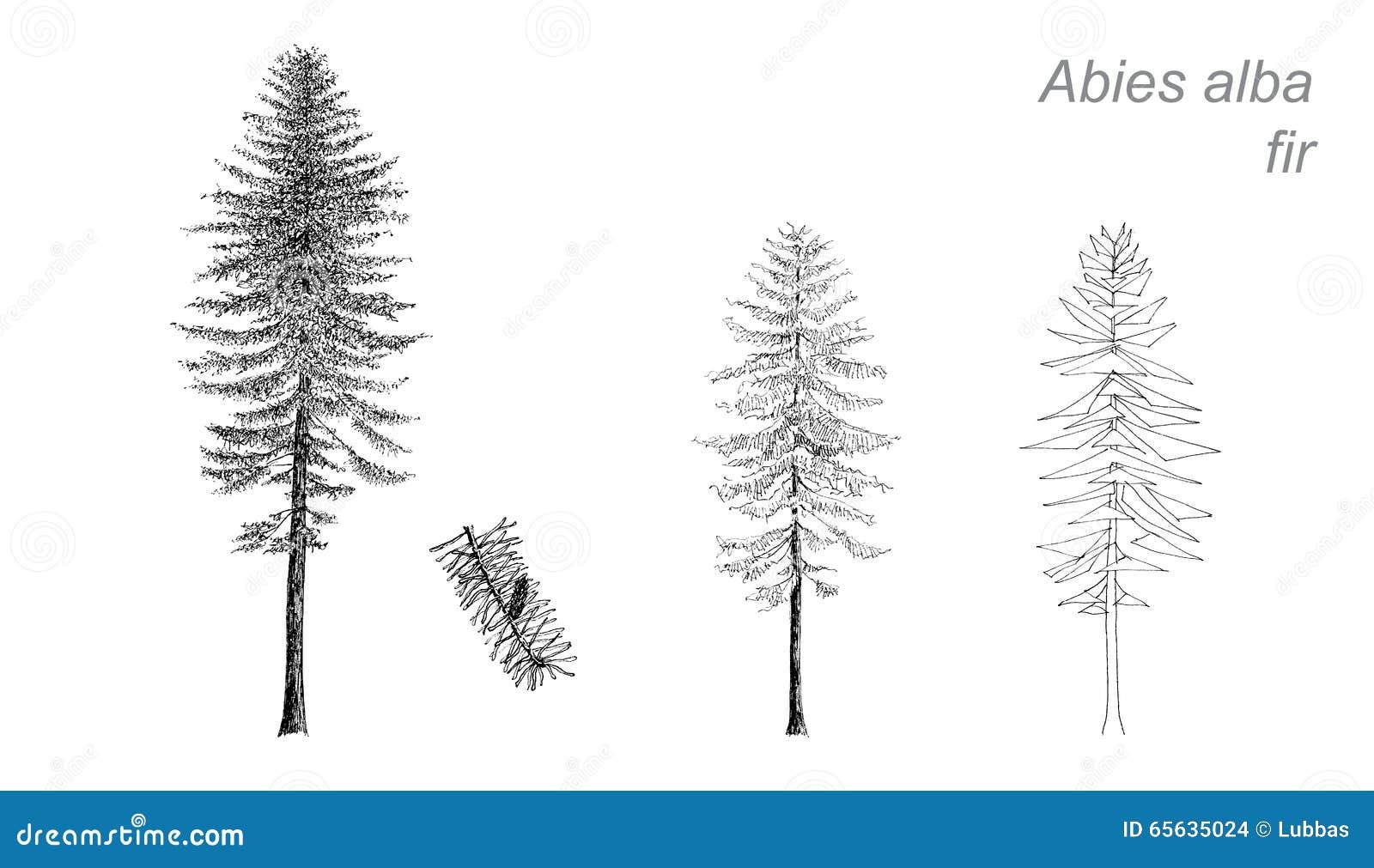Dessin de vecteur de sapin (Abies alba)
