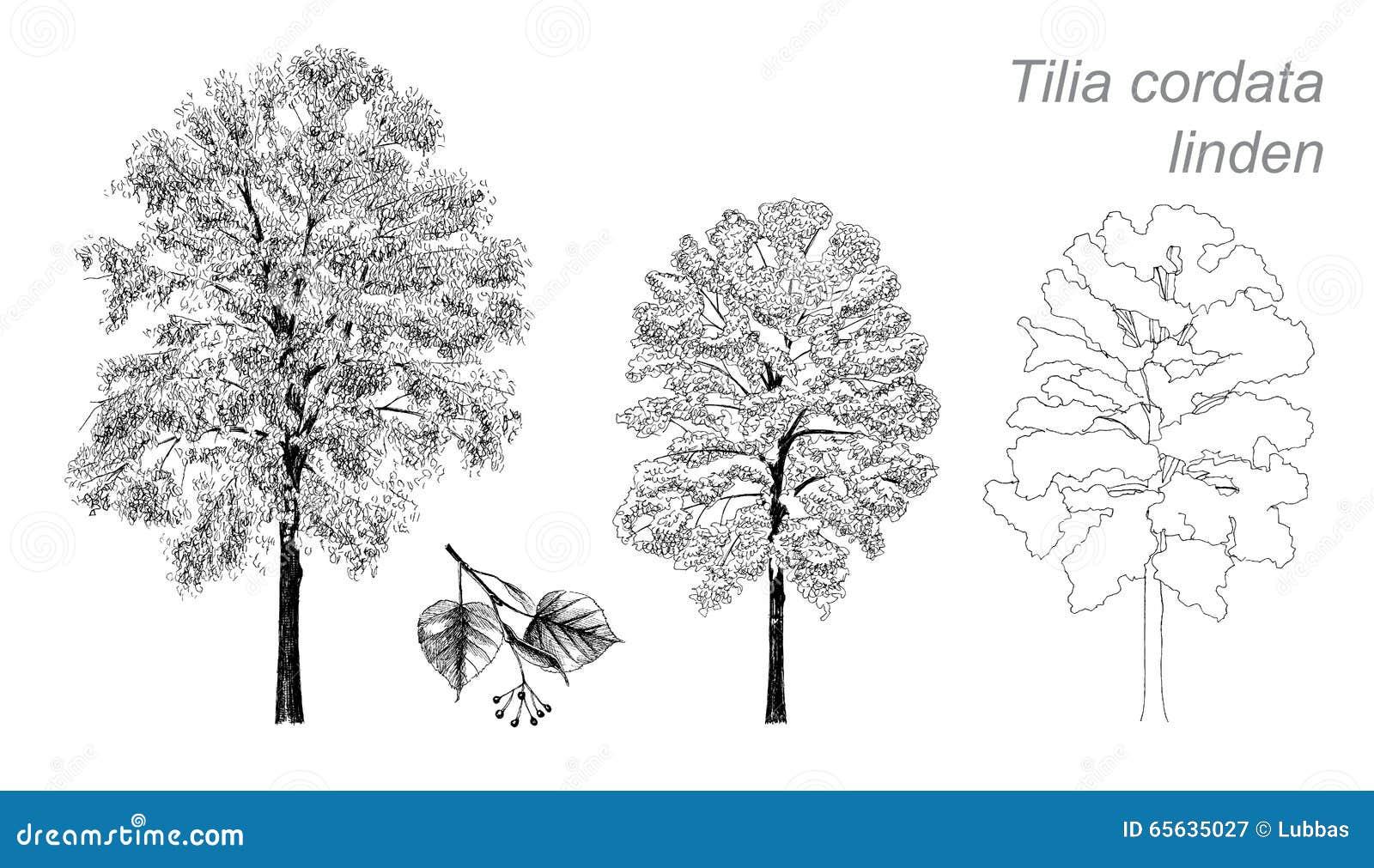 Dessin de vecteur de tilleul (cordata de Tilia)