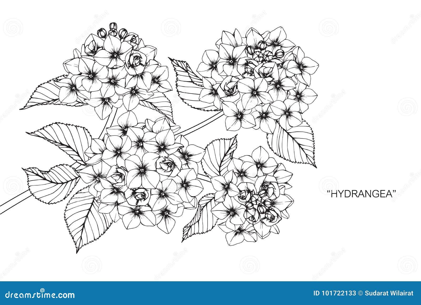 Dessin Et Croquis De Fleur D Hortensia Illustration Stock