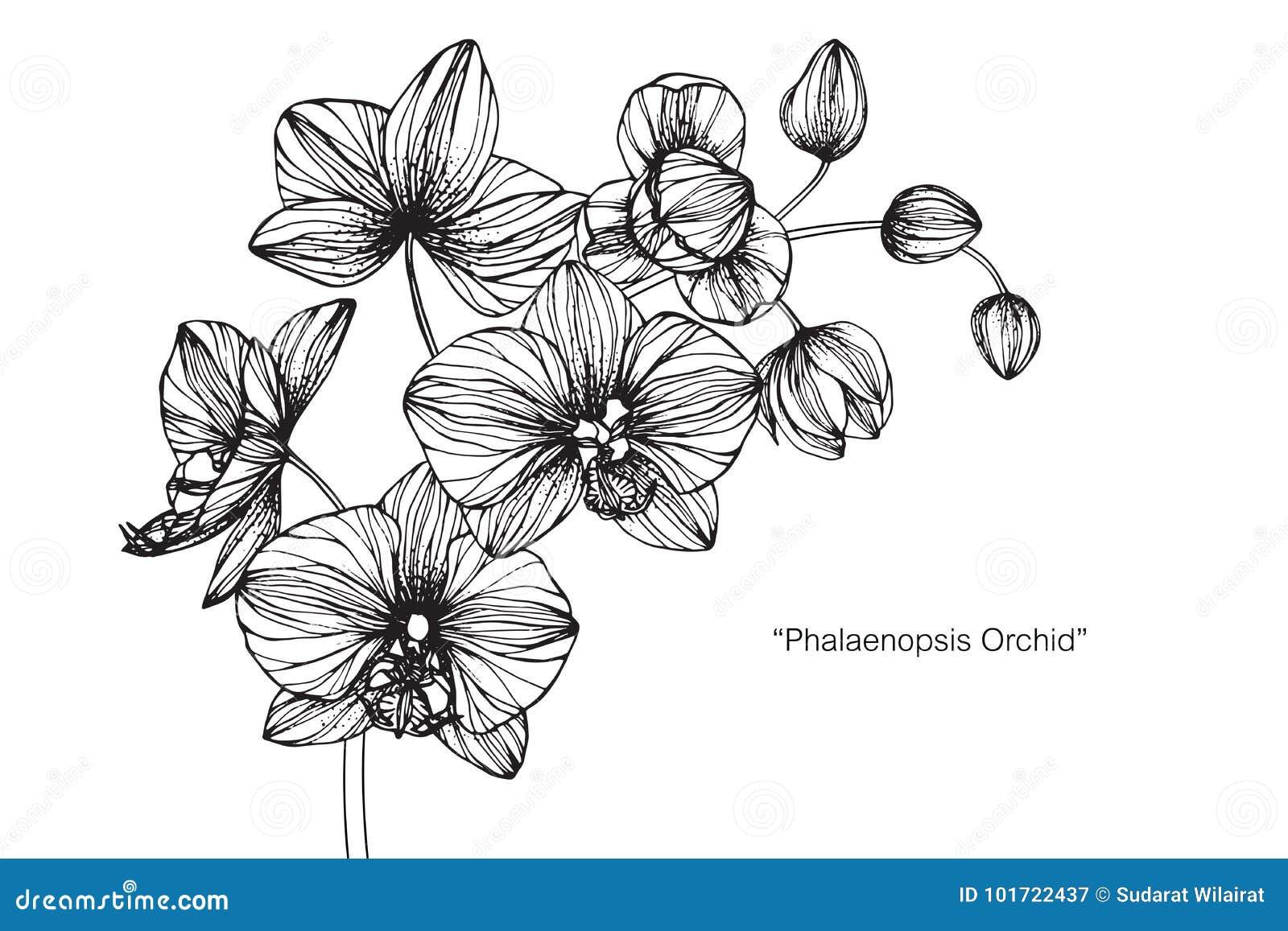 Dessin Fleur D Orchidée dessin et croquis de fleur d'orchidée illustration stock