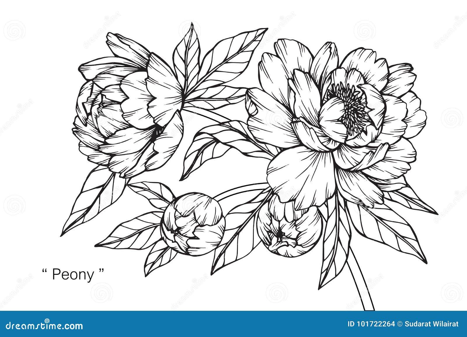 Dessin Et Croquis De Fleur De Pivoine Illustration Stock