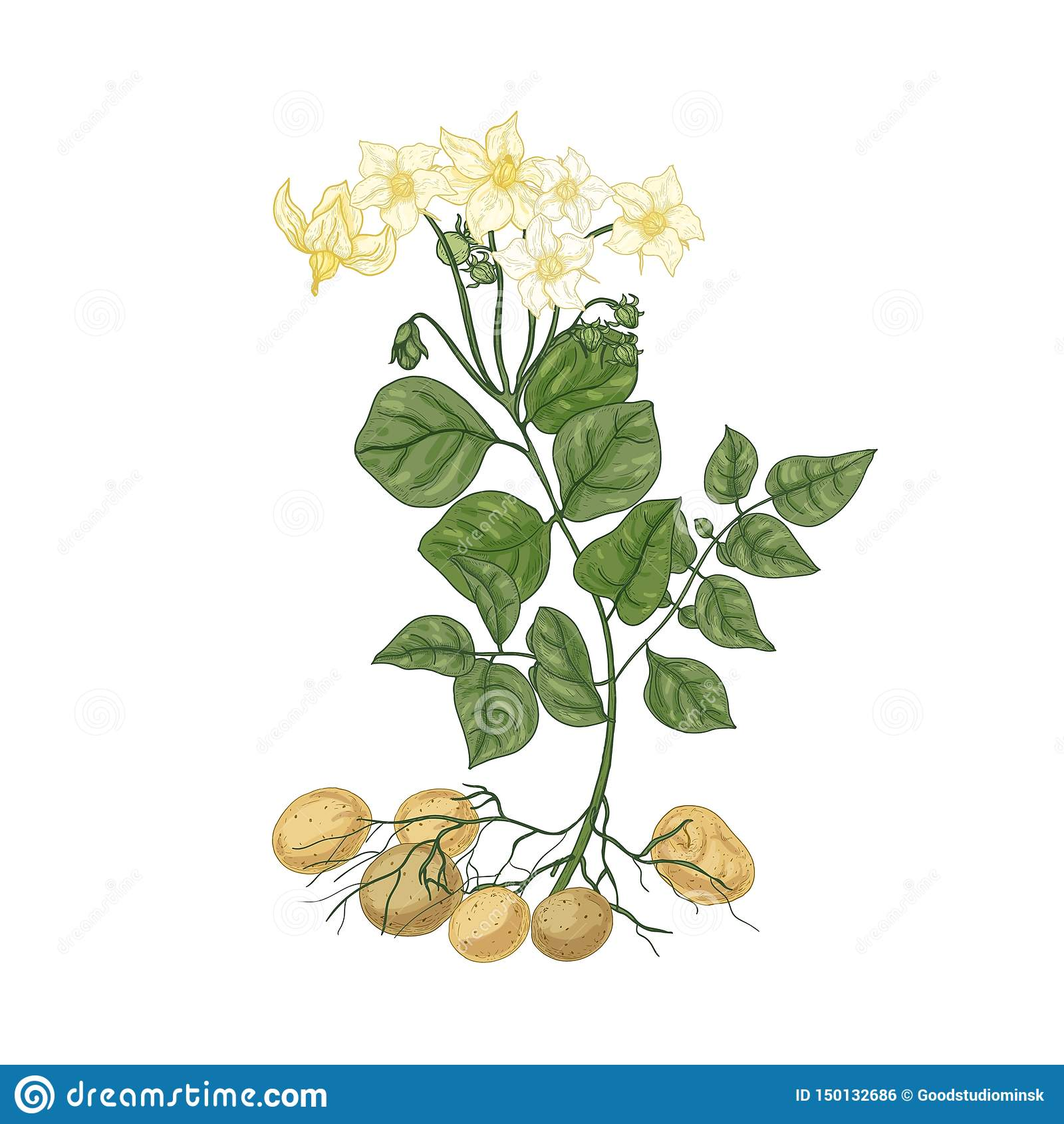 Dessin Naturel élégant De Plante De Pomme De Terre Avec Des