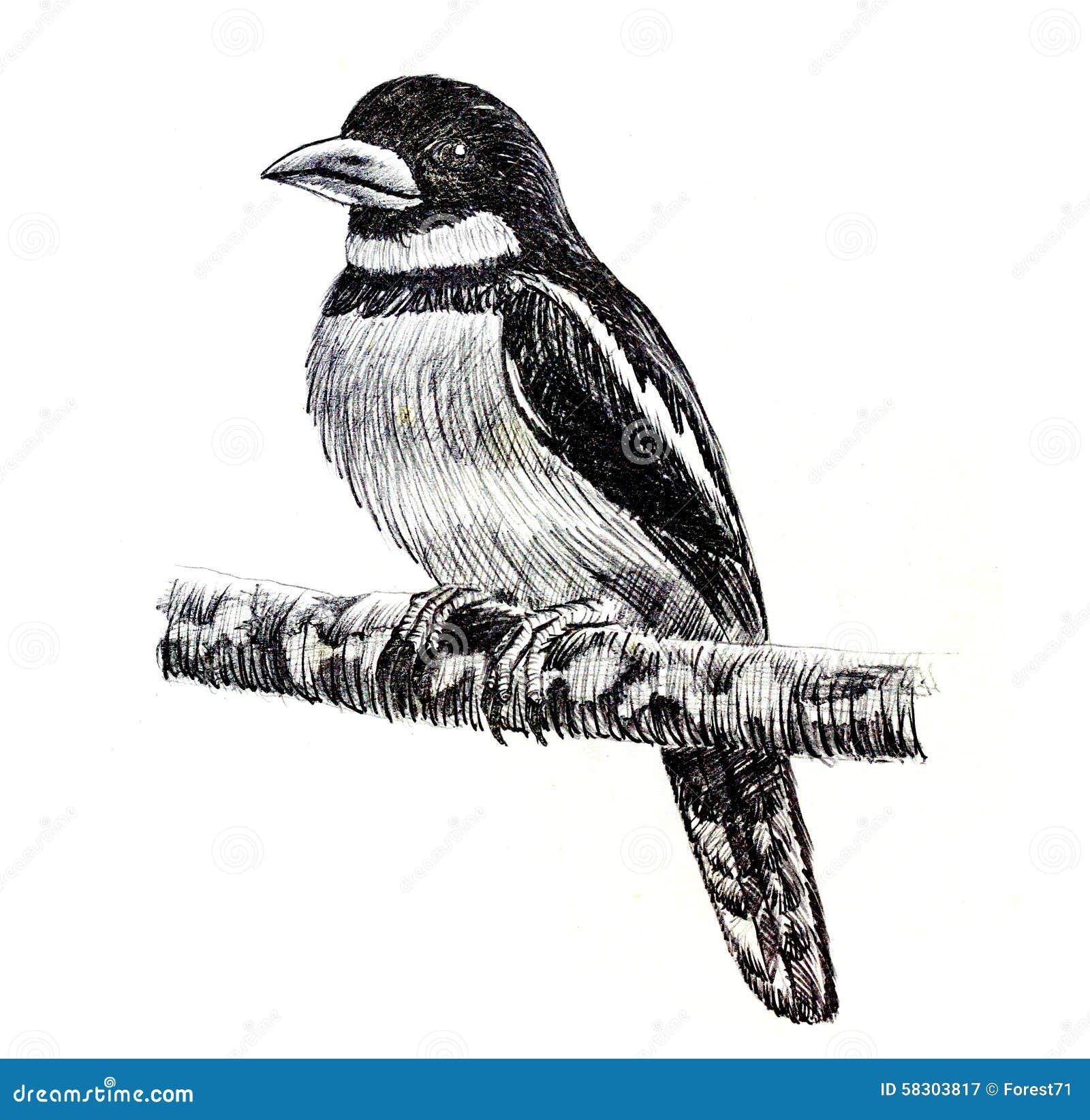Dessin noir et rouge d 39 oiseau de broadbill illustration - Dessin d oiseau ...