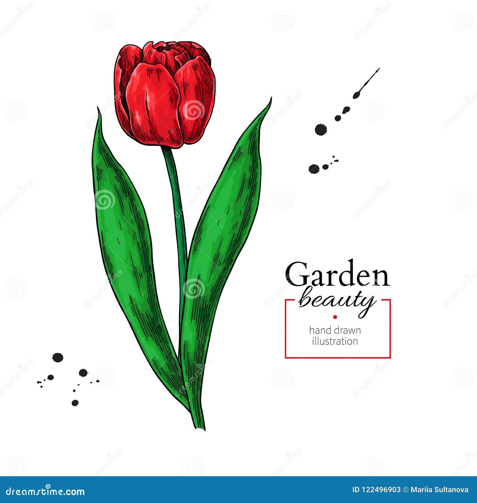 Dessin Rouge De Fleur Et De Feuilles De Tulipe Objet Floral Tiré Par